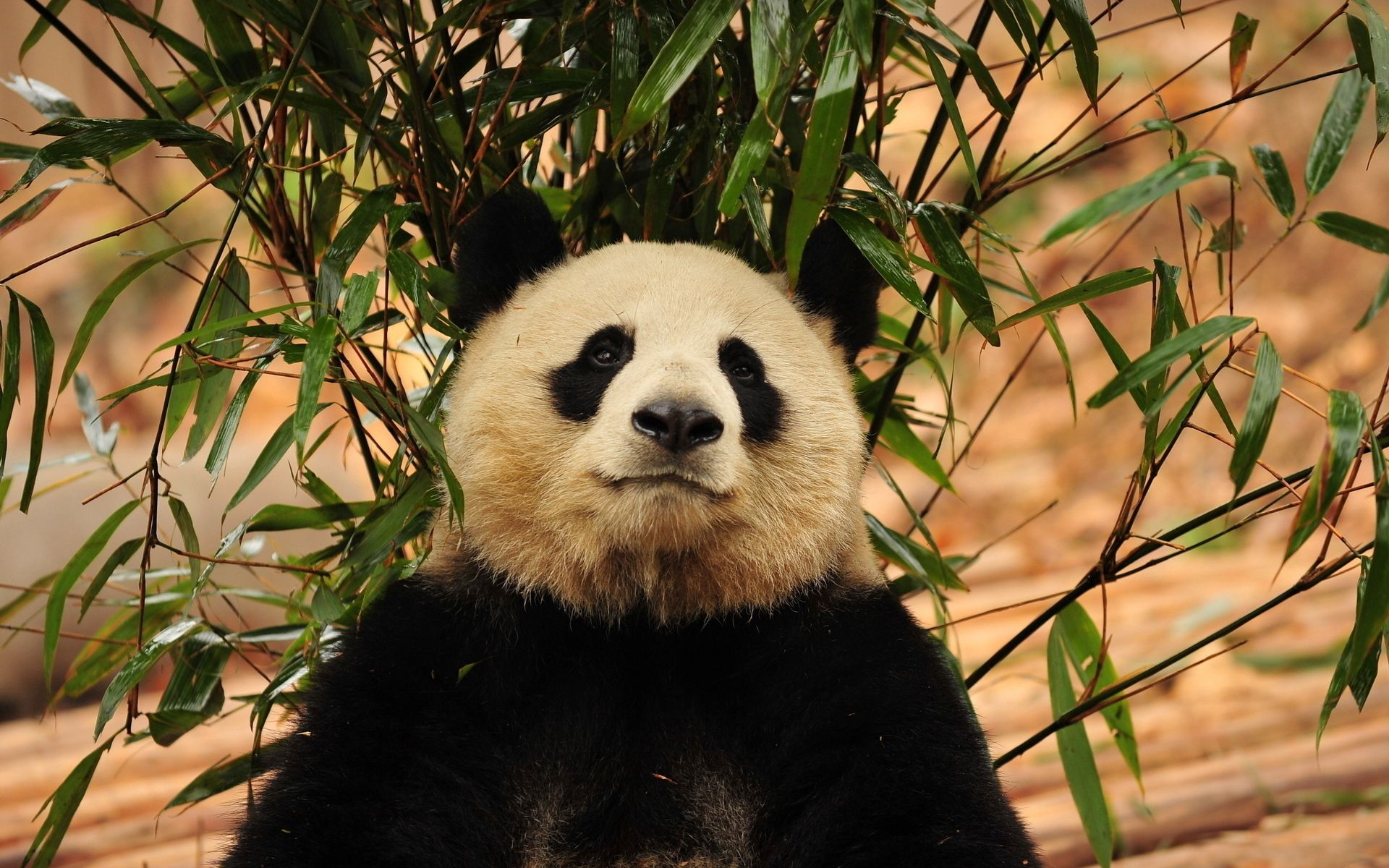 96337 download wallpaper Animals, Panda, Leaves, Branch, Grass screensavers and pictures for free