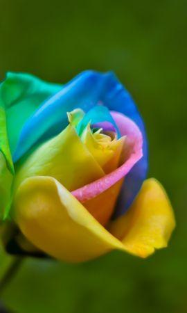 42049 descargar fondo de pantalla Plantas, Flores, Roses: protectores de pantalla e imágenes gratis