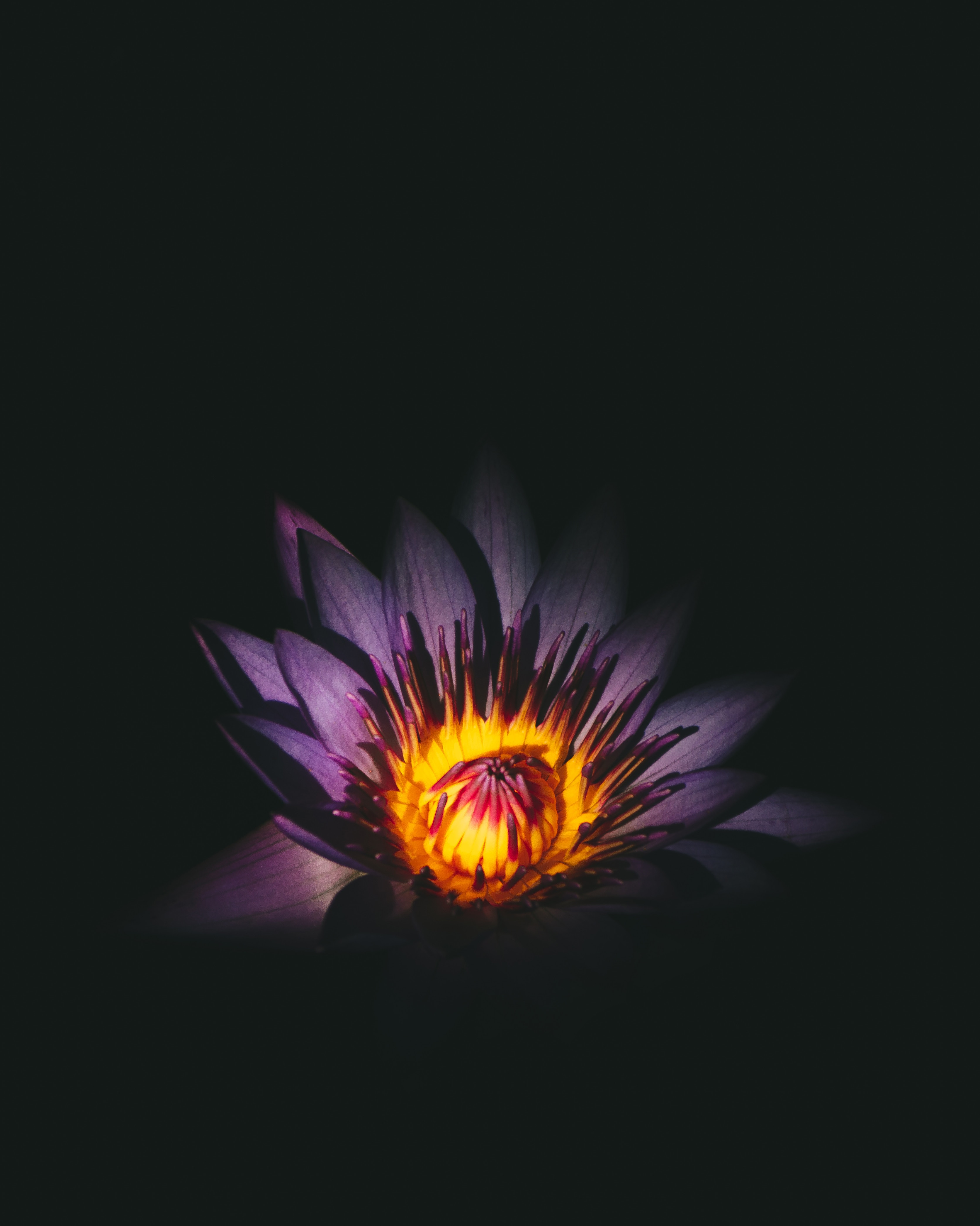 153022 download wallpaper Flowers, Lotus, Violet, Flower, Bud, Purple screensavers and pictures for free