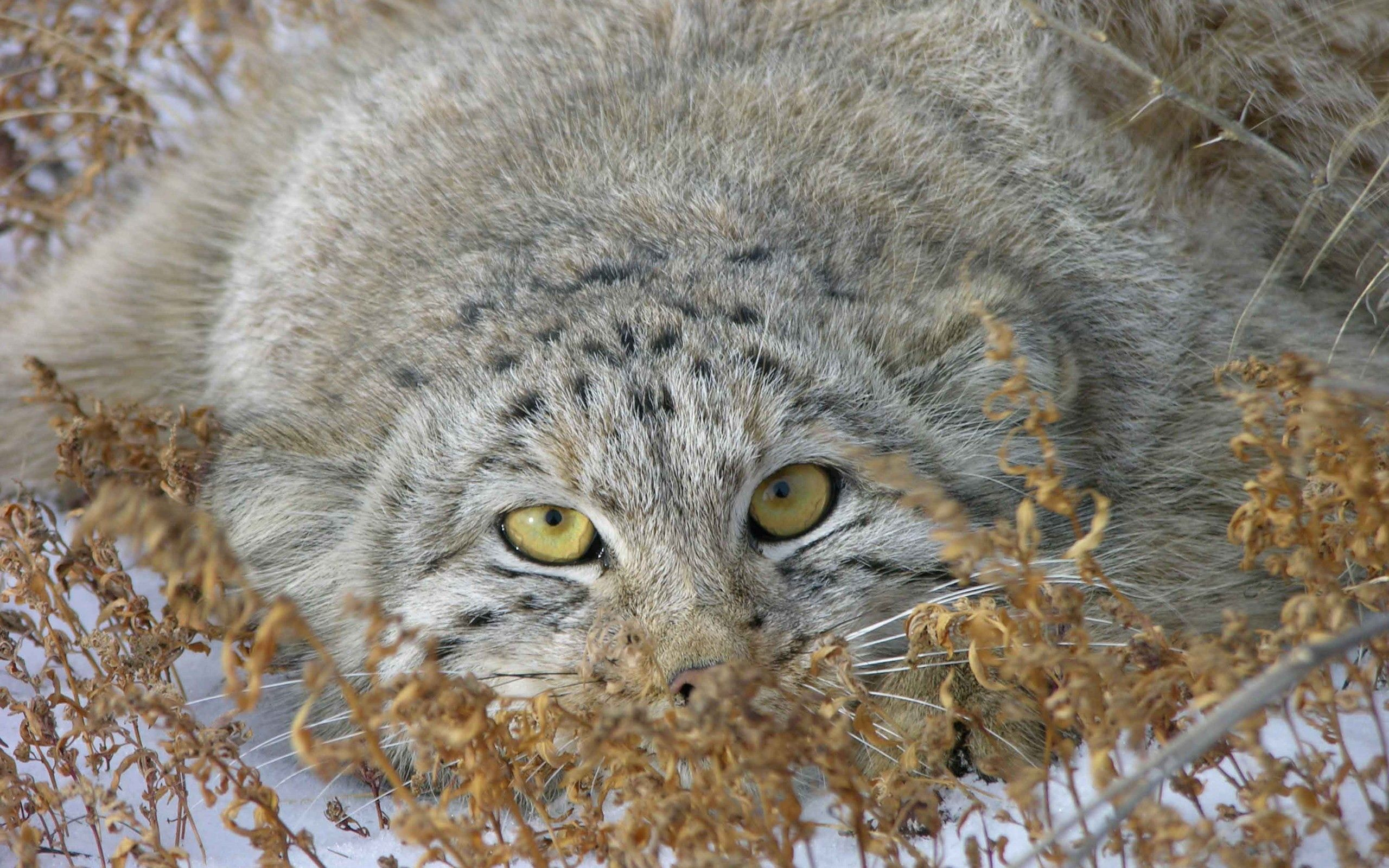 122399 download wallpaper Animals, Pallas' Cat, Manul, Muzzle, Peek Out, Look Out, Grass screensavers and pictures for free