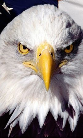 29905 baixar papel de parede Animais, Aves, Eagles - protetores de tela e imagens gratuitamente