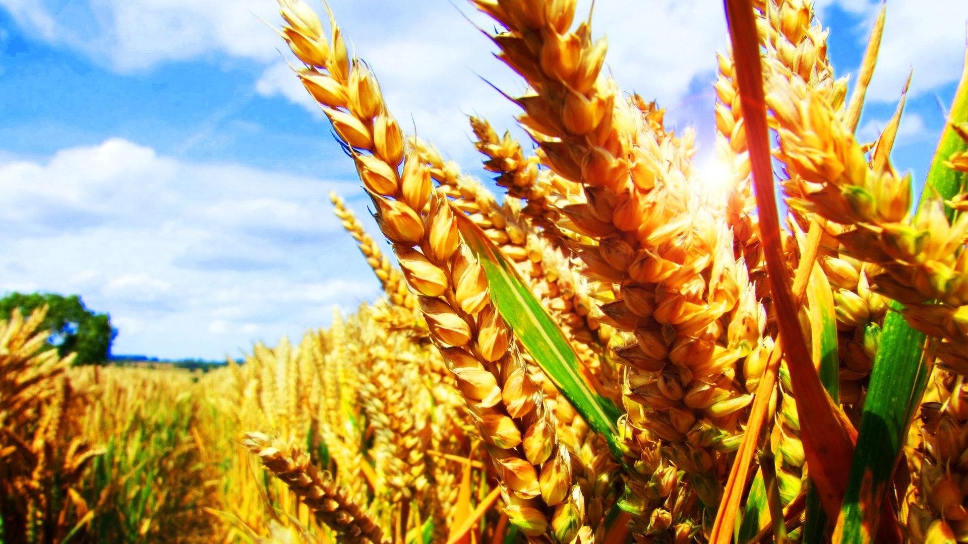 24437 скачать обои Растения, Пейзаж, Поля, Пшеница - заставки и картинки бесплатно