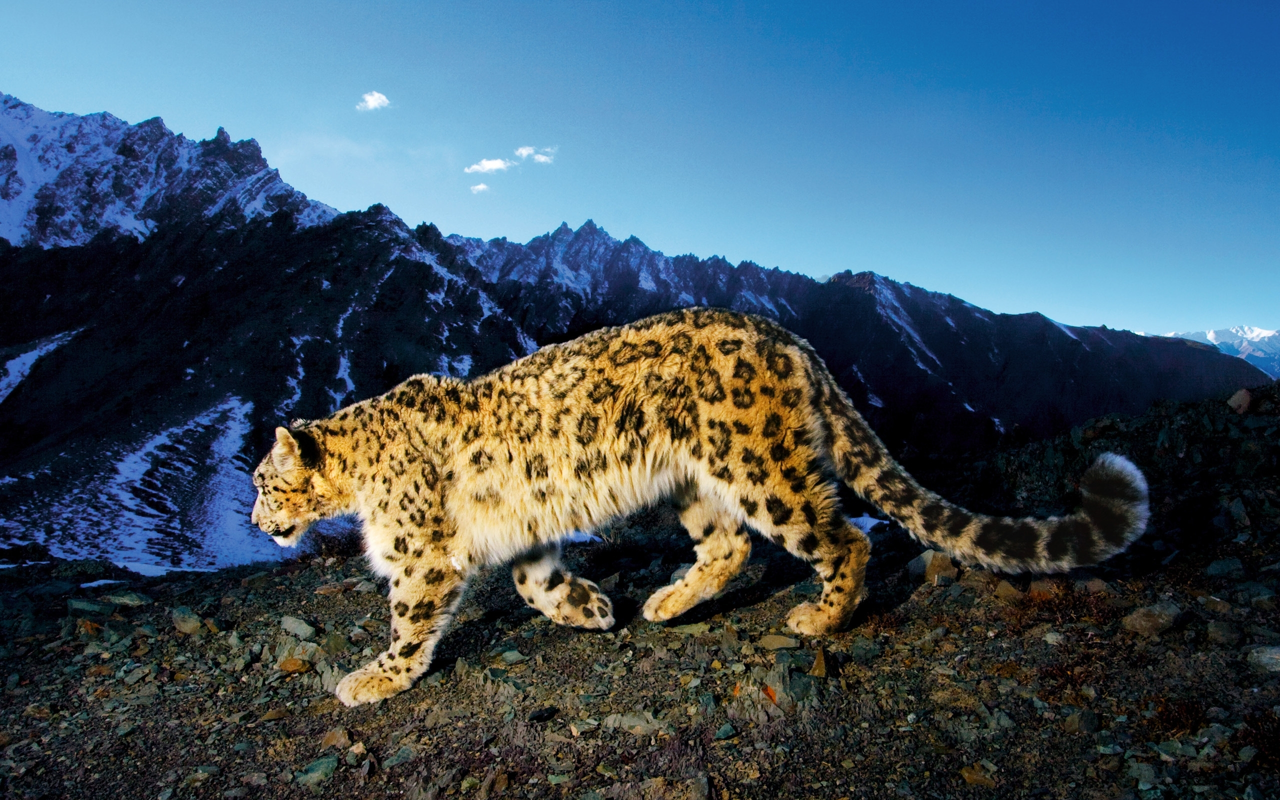 40666 download wallpaper Animals, Snow Leopard screensavers and pictures for free