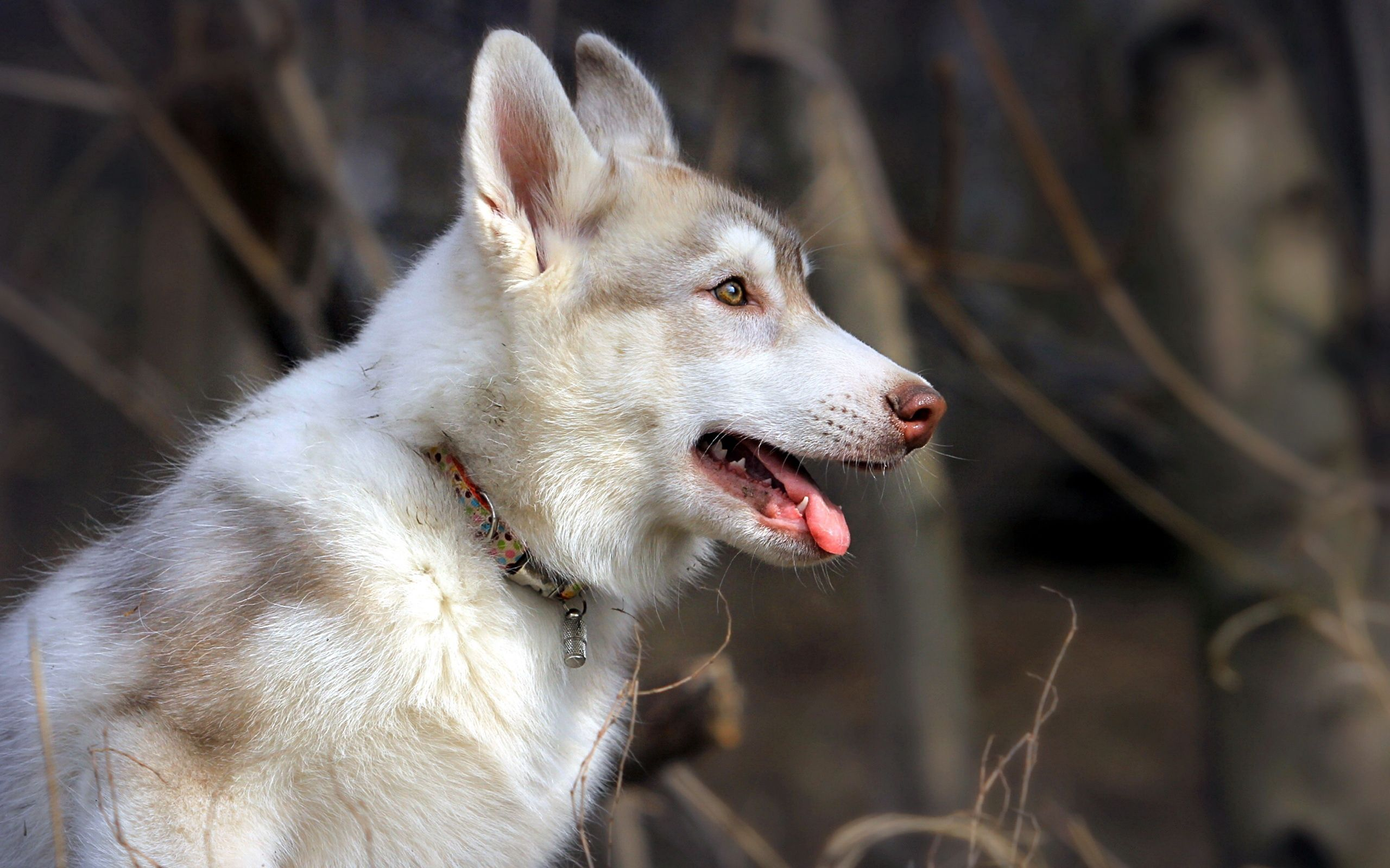 132250 Screensavers and Wallpapers Husky for phone. Download Animals, Dog, Relaxation, Rest, Profile, Husky, Haska pictures for free
