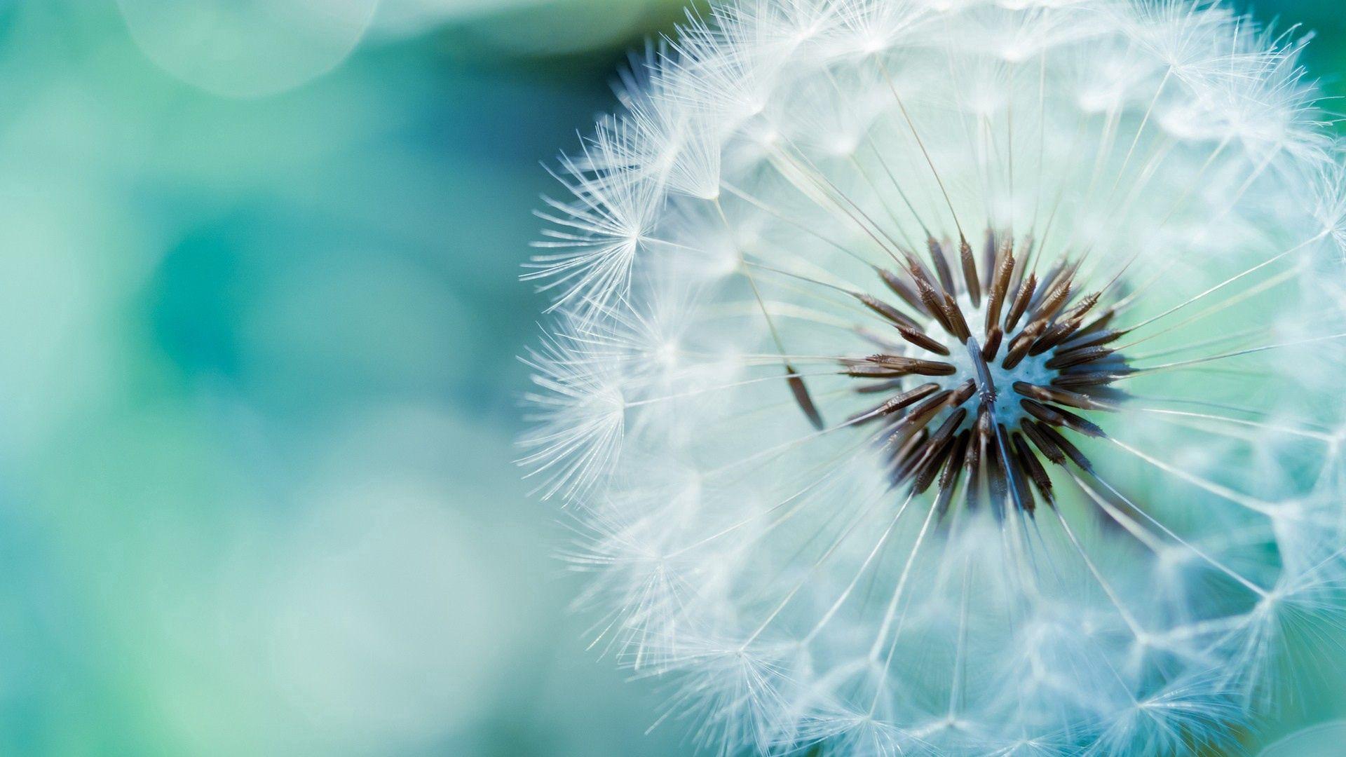 免費壁紙101307:宏, 蒲公英, 起毛, 小毛, 花, 花卉, 干, 茎 下載手機圖片