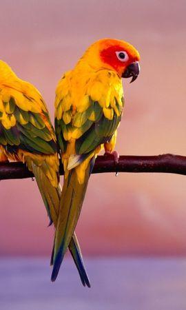 24513 baixar papel de parede Animais, Aves, Papagaios - protetores de tela e imagens gratuitamente