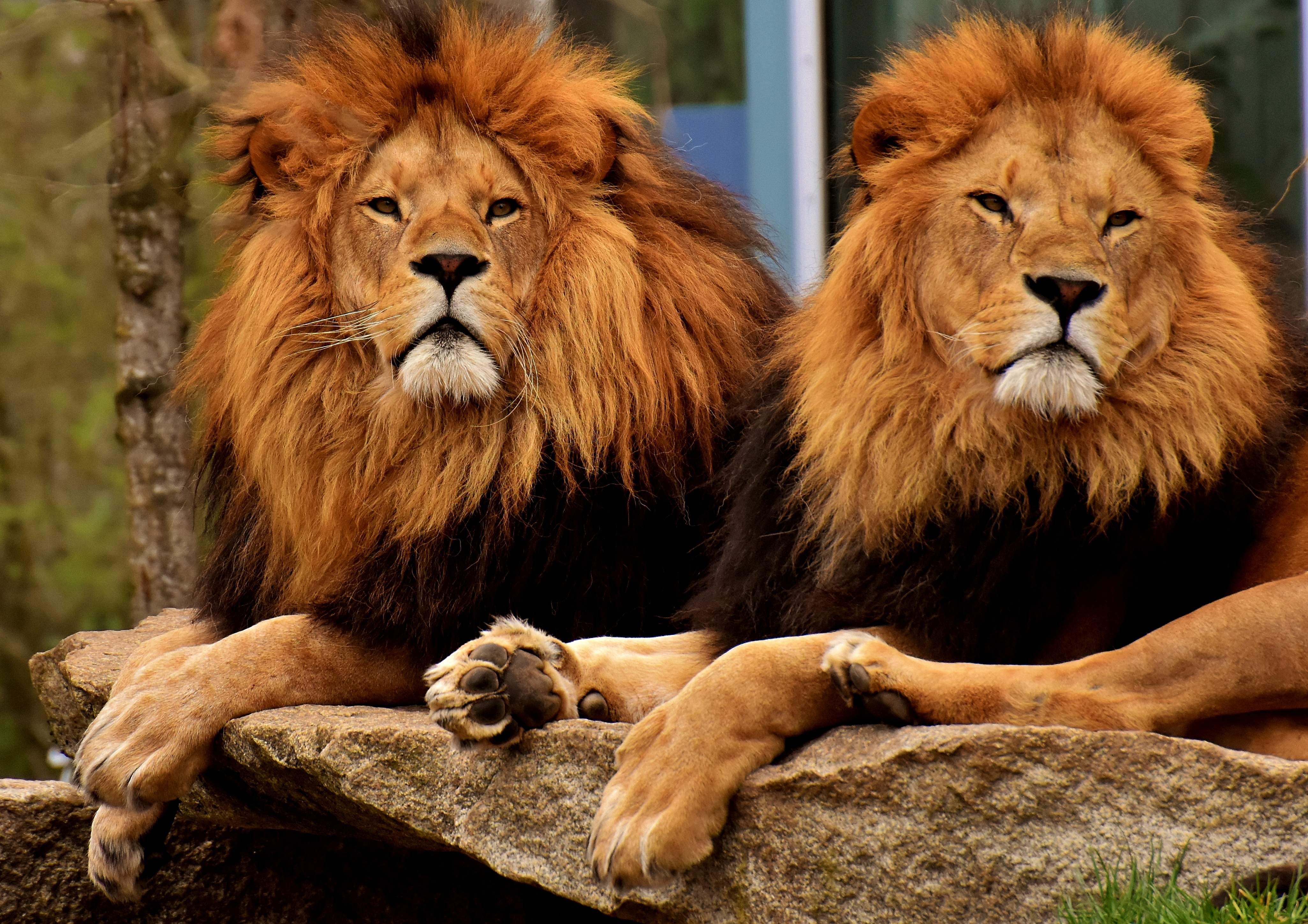 63034 download wallpaper Animals, Predators, Muzzle, Mane, King Of Beasts, King Of The Beasts, Lions screensavers and pictures for free