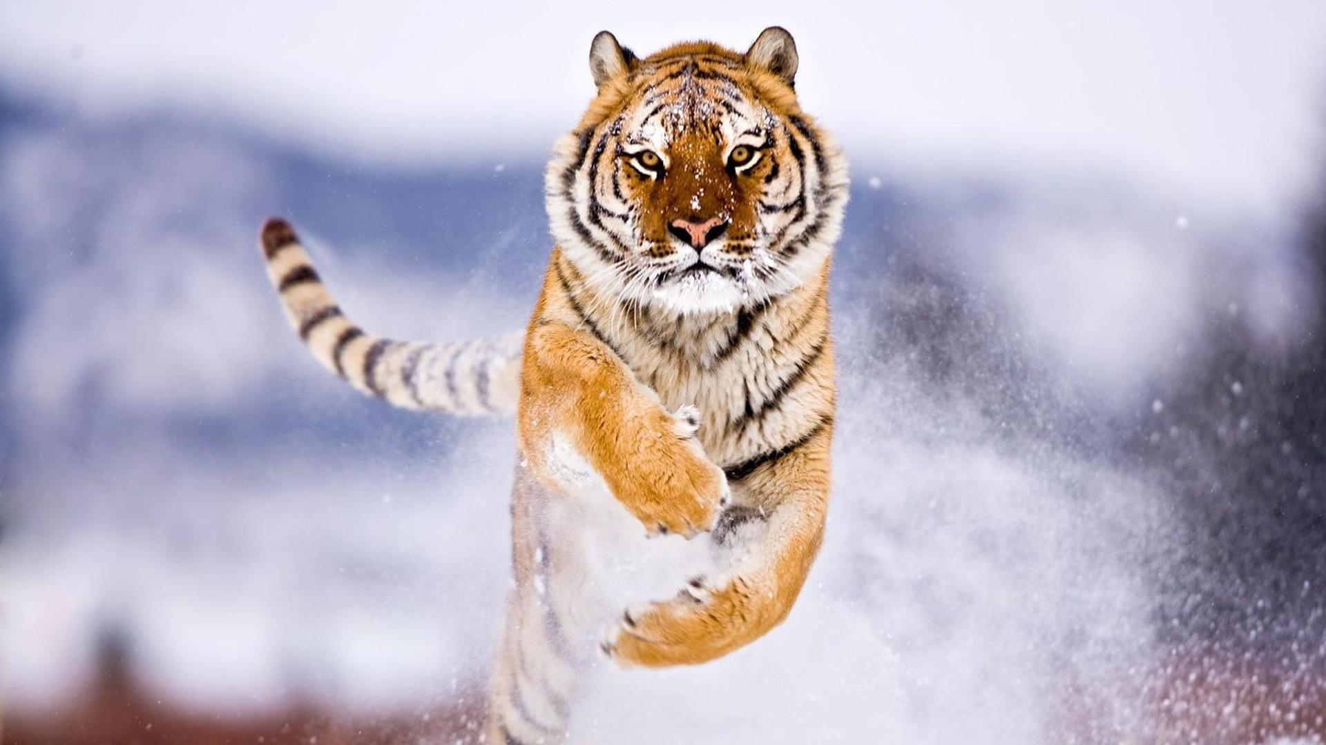 37775 скачать обои Тигры, Животные - заставки и картинки бесплатно