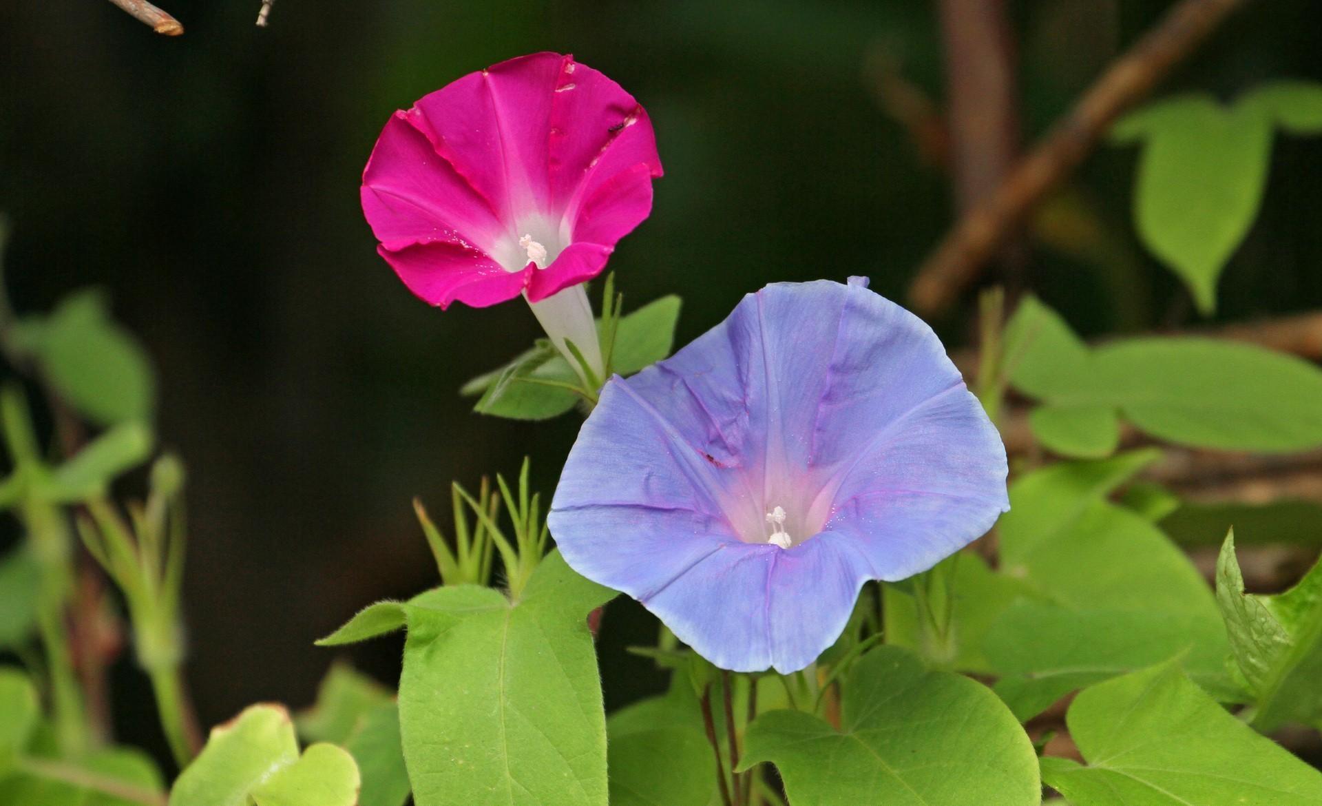 116173 Hintergrundbild herunterladen Blumen, Bindweed, Nahaufnahme, Grüne, Grünen, Nahansicht, Winde, Ipme - Bildschirmschoner und Bilder kostenlos