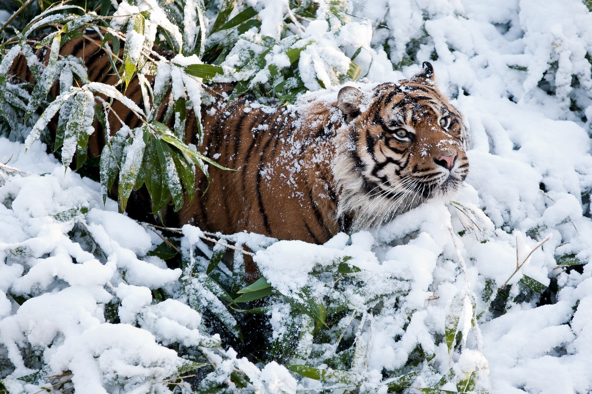 117403 download wallpaper Animals, Tiger, Muzzle, Snow, Climb screensavers and pictures for free