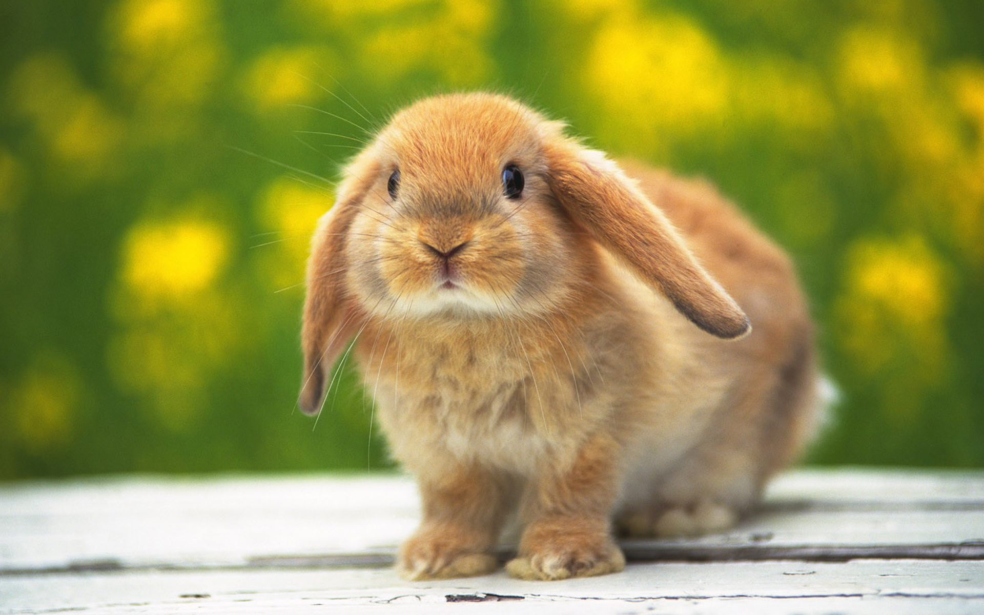 22386 download wallpaper Animals, Rabbits screensavers and pictures for free