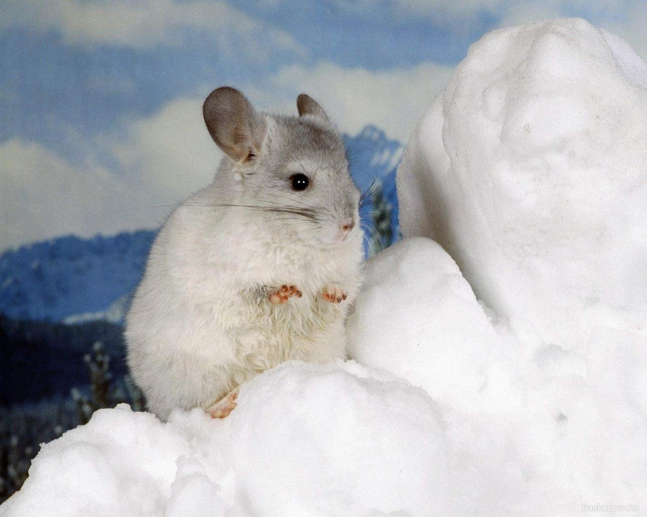 8751 Hintergrundbild herunterladen Tiere, Nagetiere, Hamster - Bildschirmschoner und Bilder kostenlos