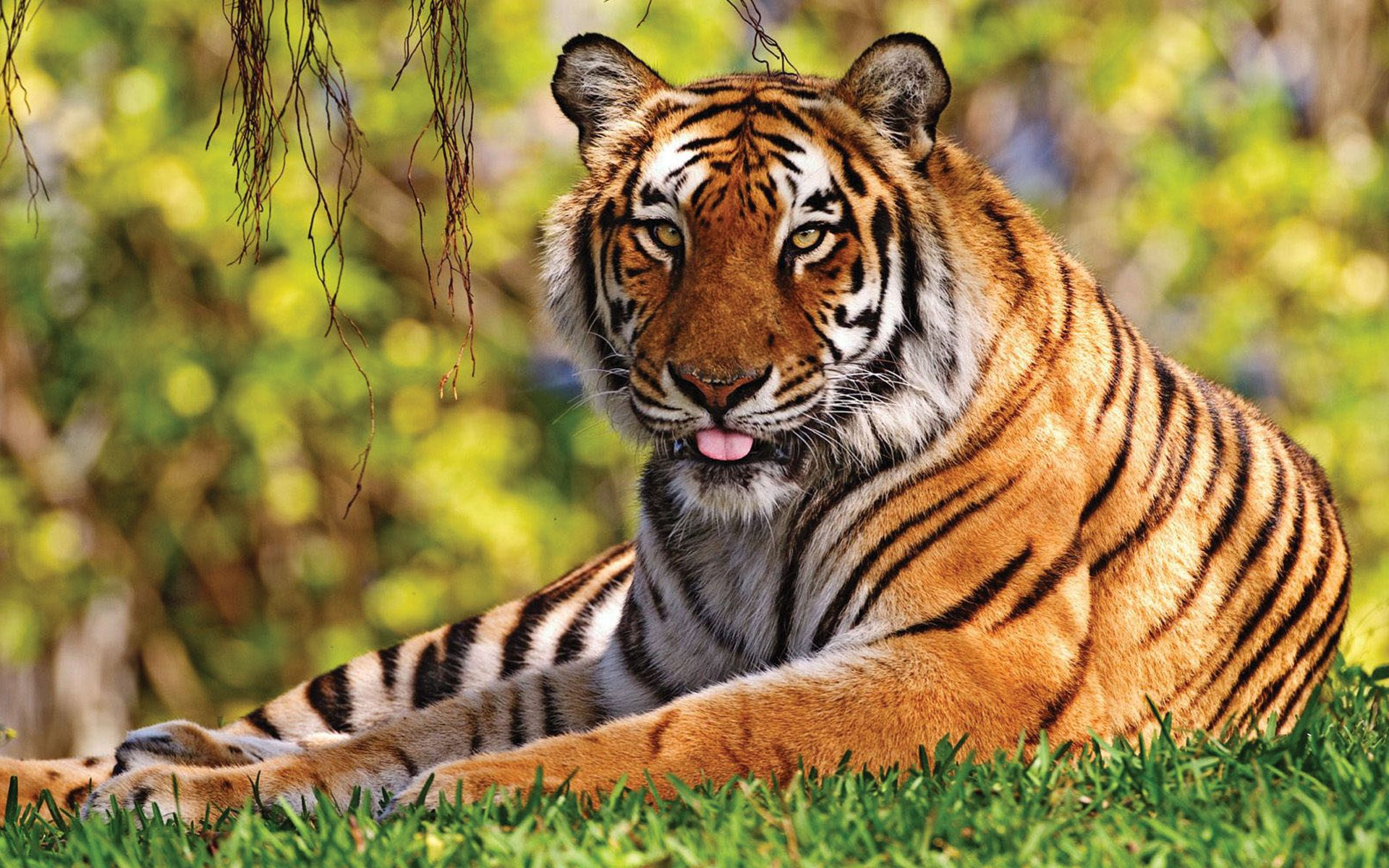129456 download wallpaper Animals, Tiger, Grass, To Lie Down, Lie, Language, Tongue, Predator, Big Cat screensavers and pictures for free