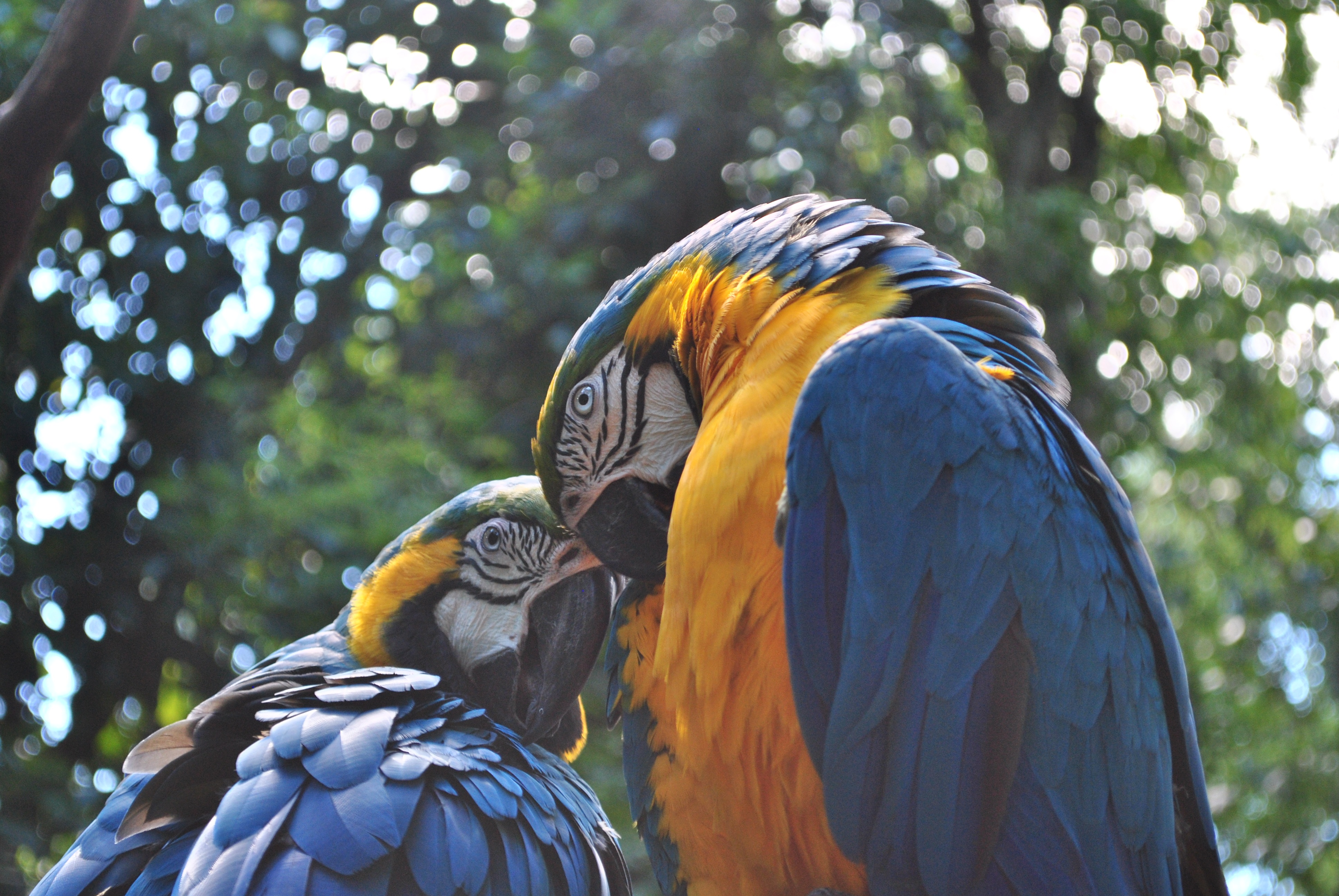 77183 download wallpaper Animals, Parrots, Macaw, Couple, Pair, Birds screensavers and pictures for free
