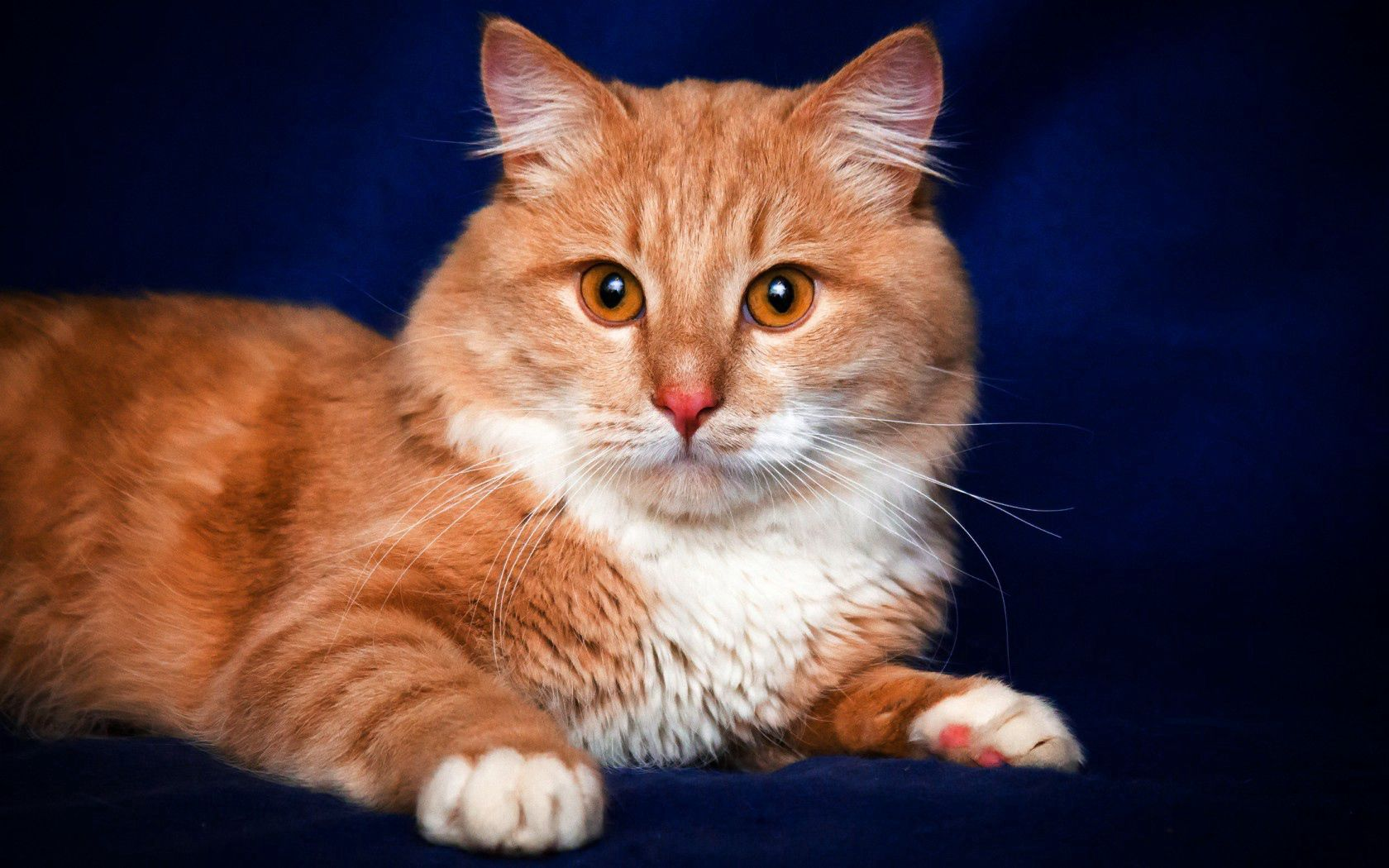 71712 download wallpaper Animals, Cat, Redhead, Muzzle, Sight, Opinion screensavers and pictures for free