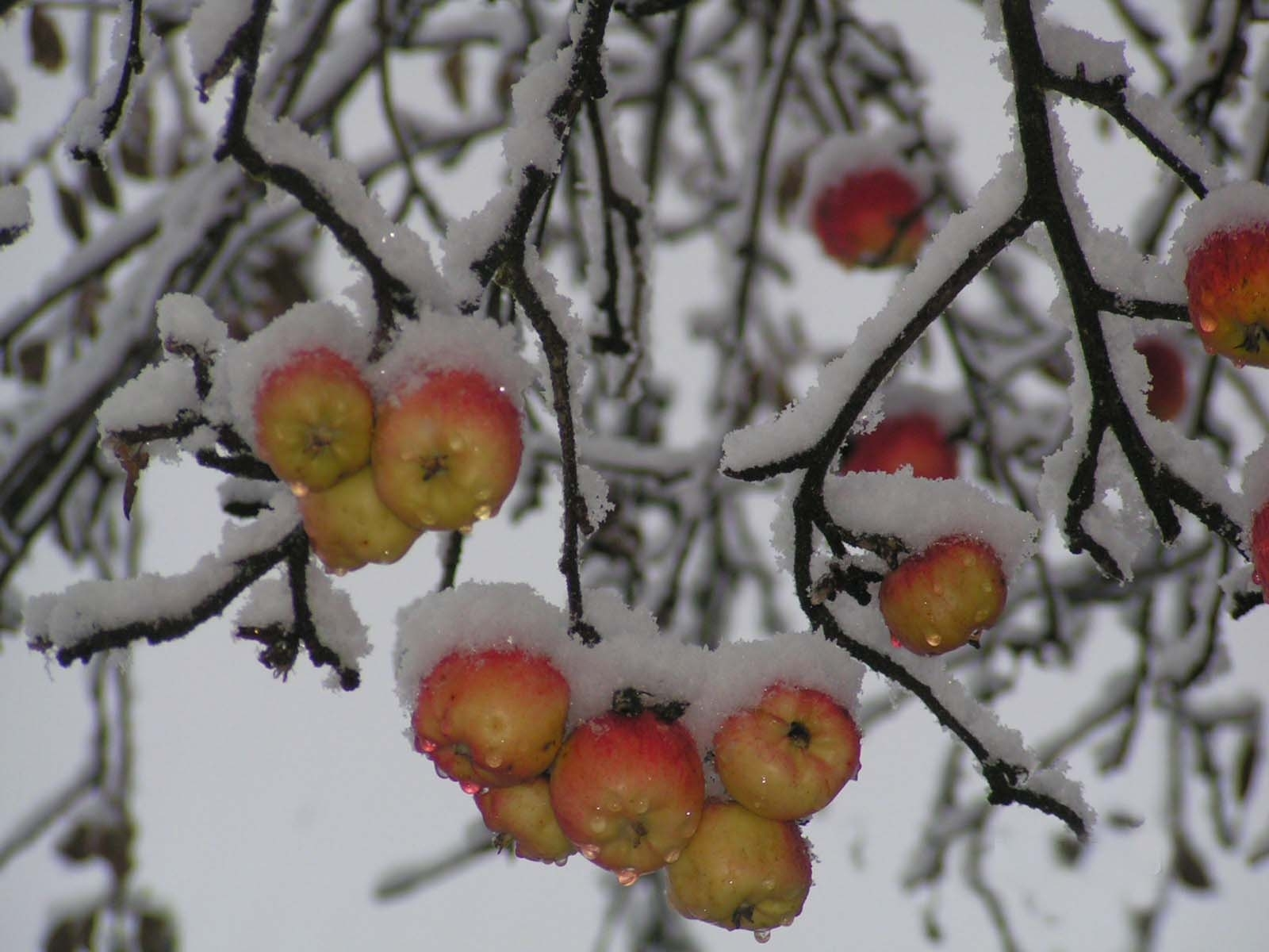 393 download wallpaper Plants, Winter, Fruits, Apples, Snow screensavers and pictures for free