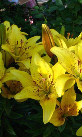 2726 скачать обои Растения, Цветы, Лилии - заставки и картинки бесплатно
