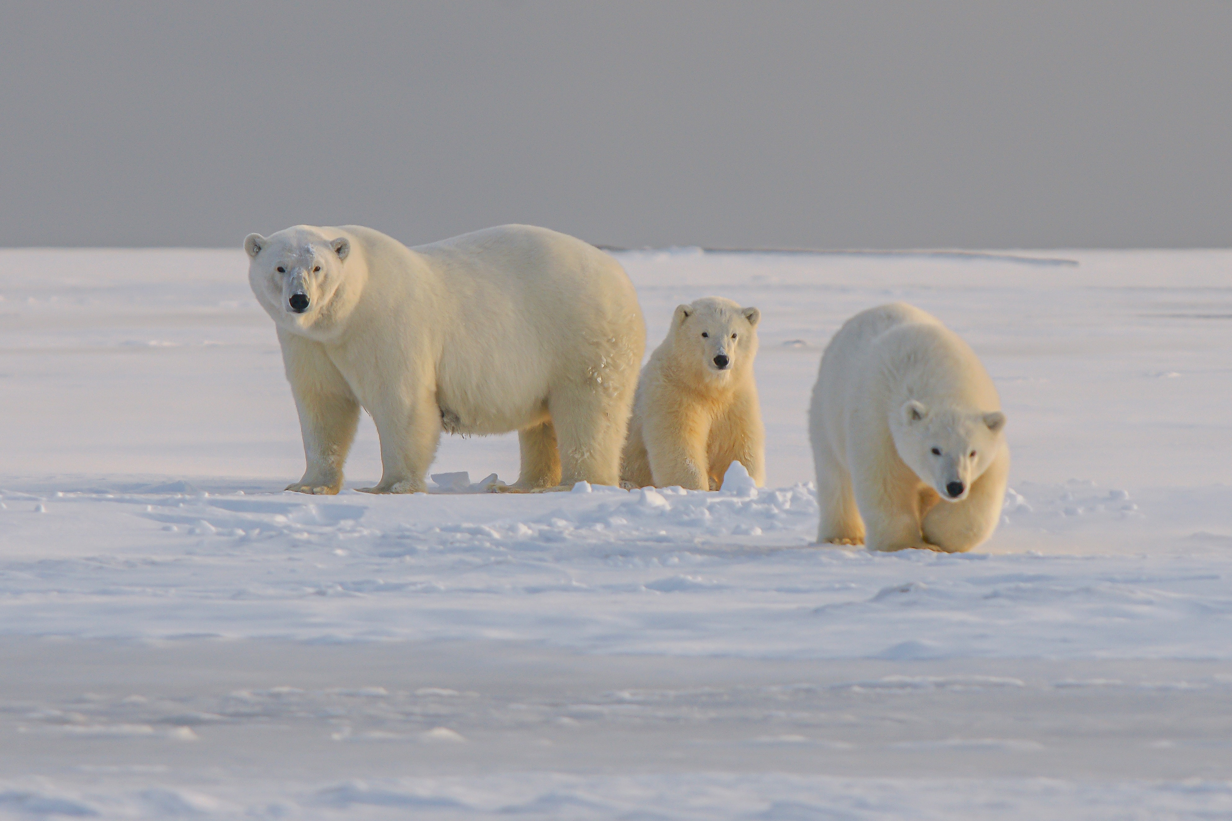 60852 Screensavers and Wallpapers Bear for phone. Download Animals, Snow, Bear, Animal, Polar Bear pictures for free