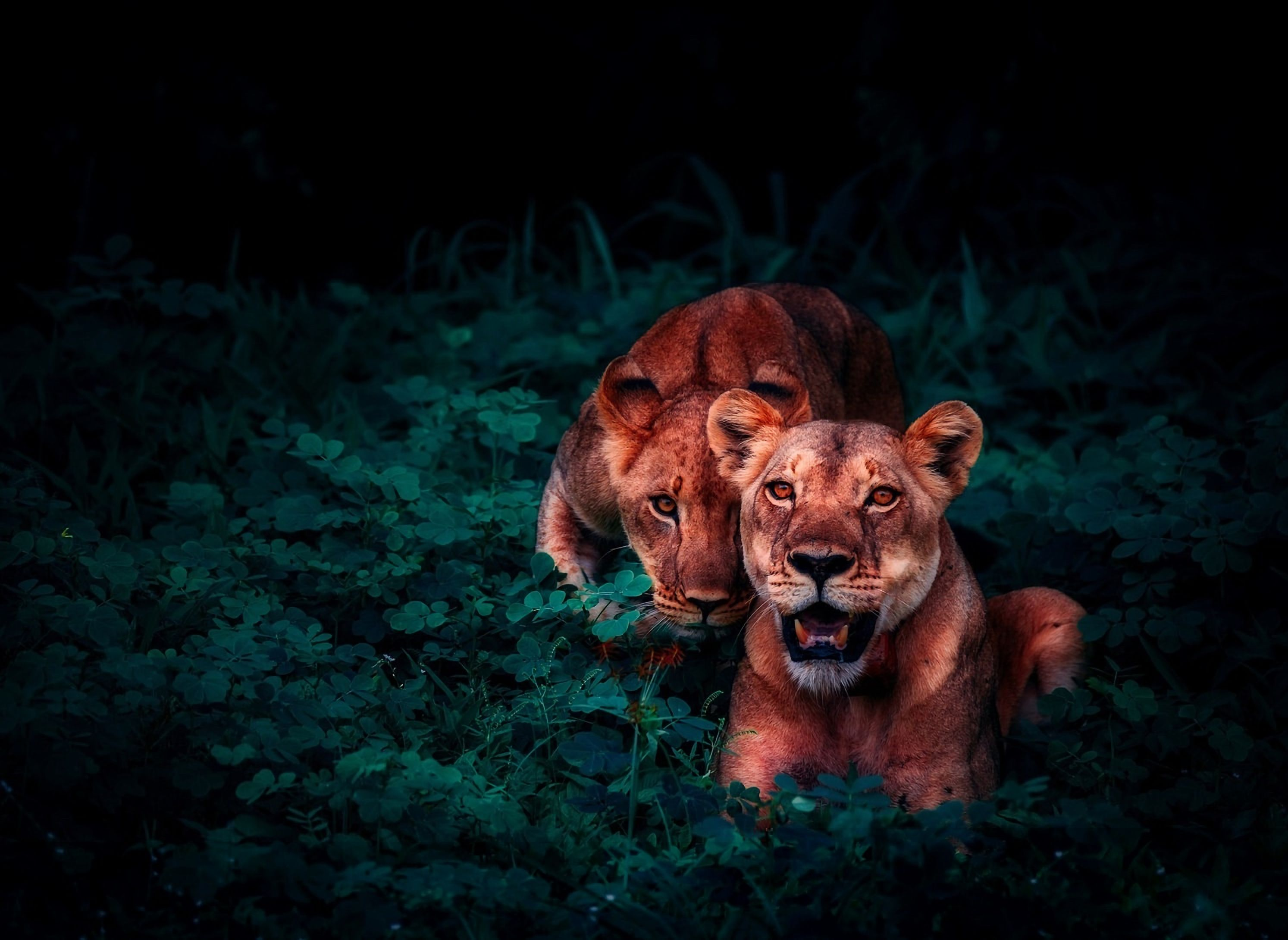 113105 download wallpaper Animals, Cubs, Young, Wildlife, Sight, Opinion, Lions screensavers and pictures for free