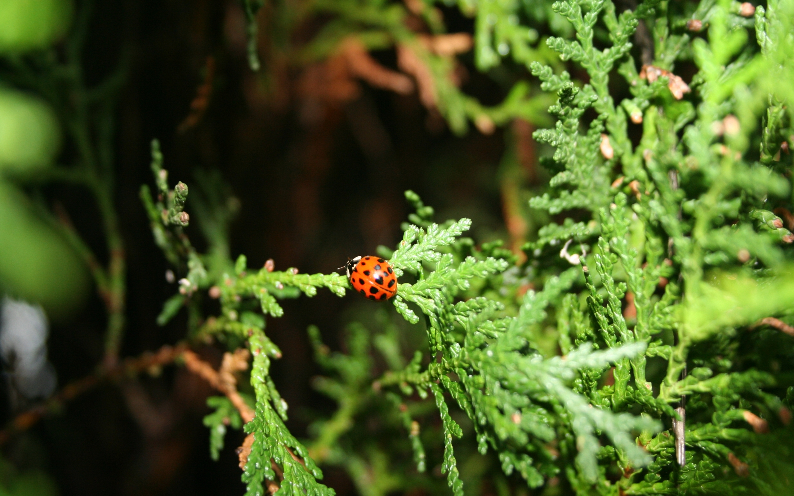10552 download wallpaper Insects, Ladybugs screensavers and pictures for free