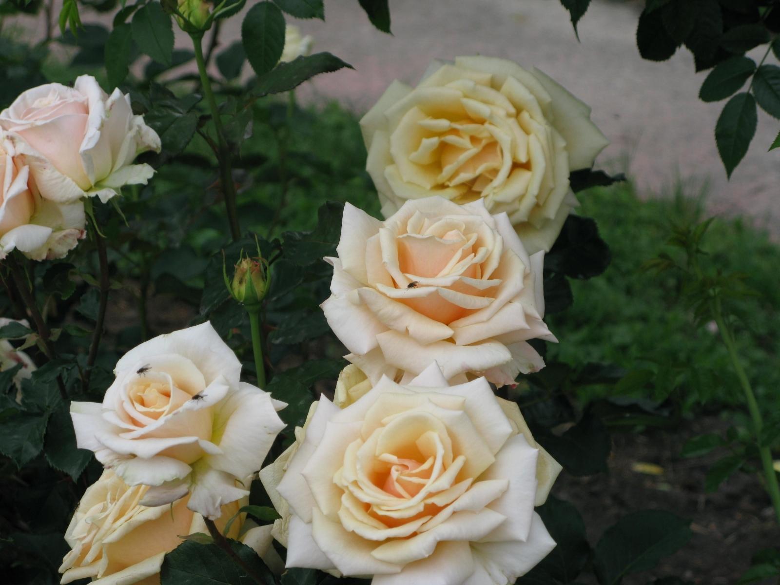 3235 скачать обои Растения, Цветы, Розы - заставки и картинки бесплатно