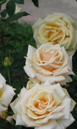 3235 descargar fondo de pantalla Plantas, Flores, Roses: protectores de pantalla e imágenes gratis
