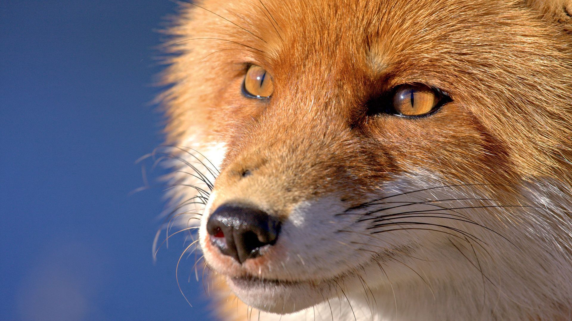 143401 Screensavers and Wallpapers Nose for phone. Download Animals, Fox, Muzzle, Eyes, Nose pictures for free