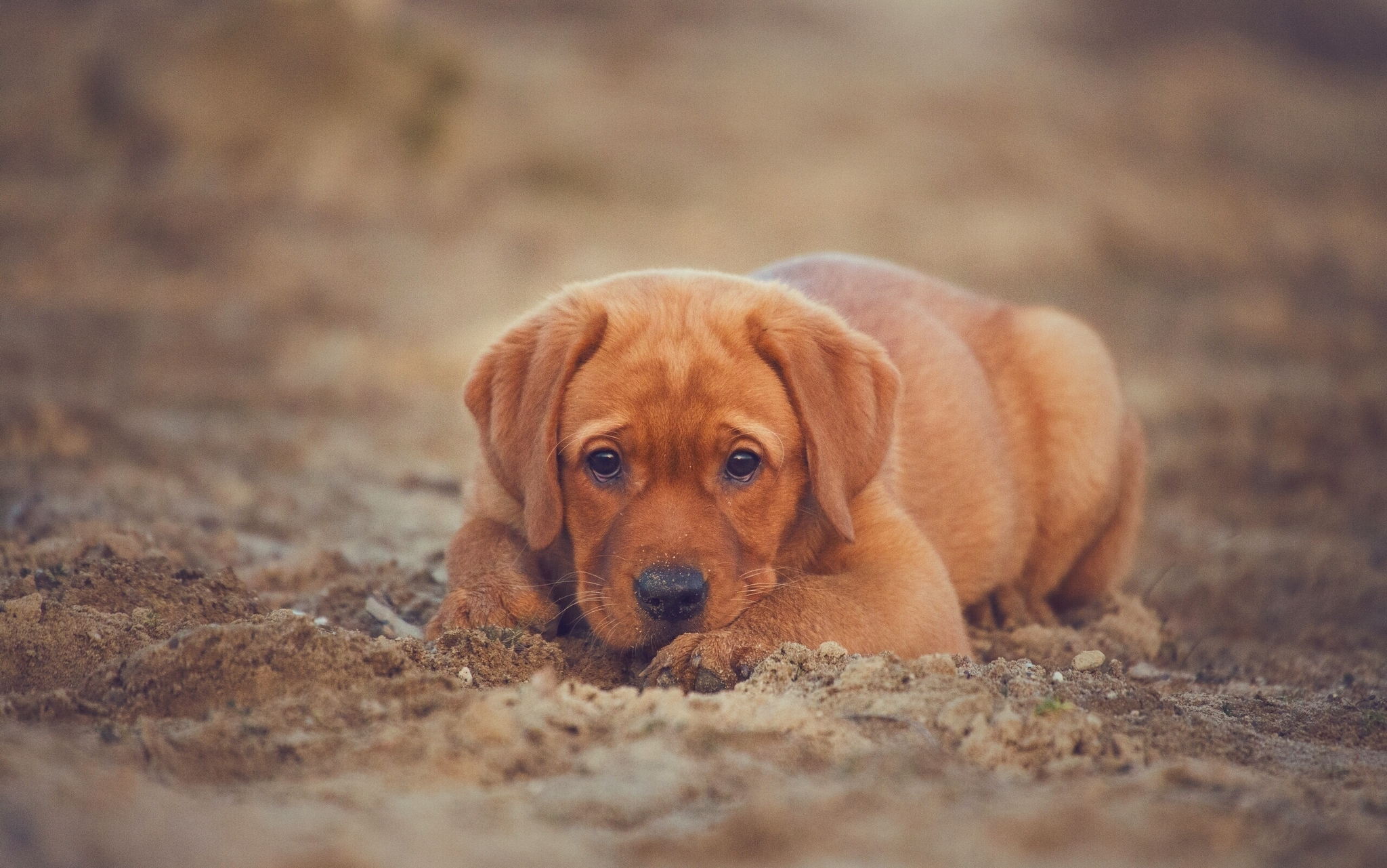 50682 Screensavers and Wallpapers Puppy for phone. Download Animals, Dog, Puppy, Retriever, Labrador pictures for free
