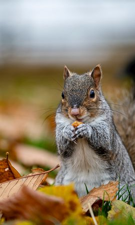77006 Screensavers and Wallpapers Funny for phone. Download Animals, Squirrel, Nice, Sweetheart, Animal, Funny pictures for free