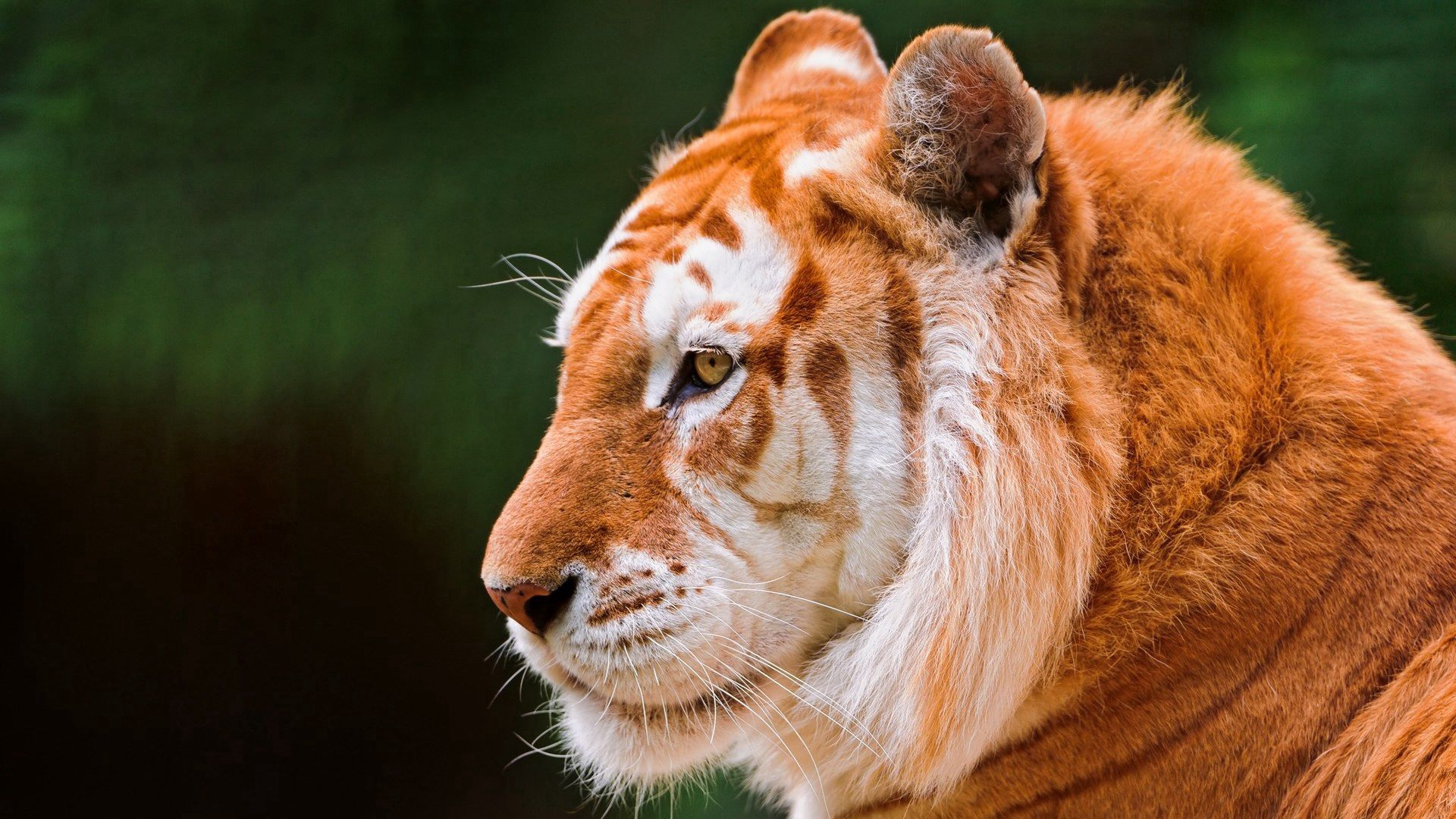 78580 Screensavers and Wallpapers Nose for phone. Download Animals, Predator, Tiger, Ears, Beast, Nose pictures for free