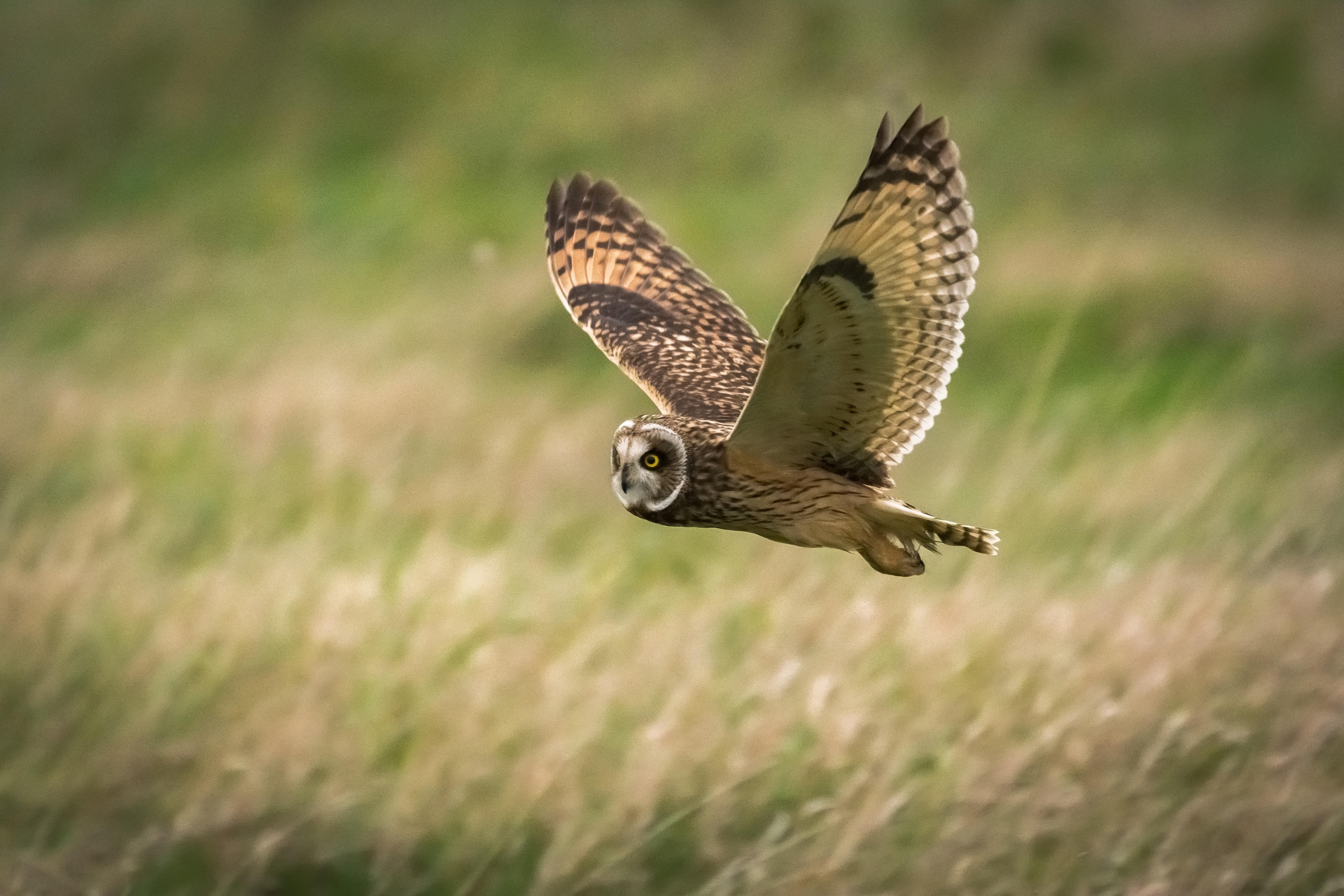 63485 Hintergrundbild herunterladen Tiere, Eule, Vogel, Feld, Flug, Wilde Natur, Wildlife - Bildschirmschoner und Bilder kostenlos