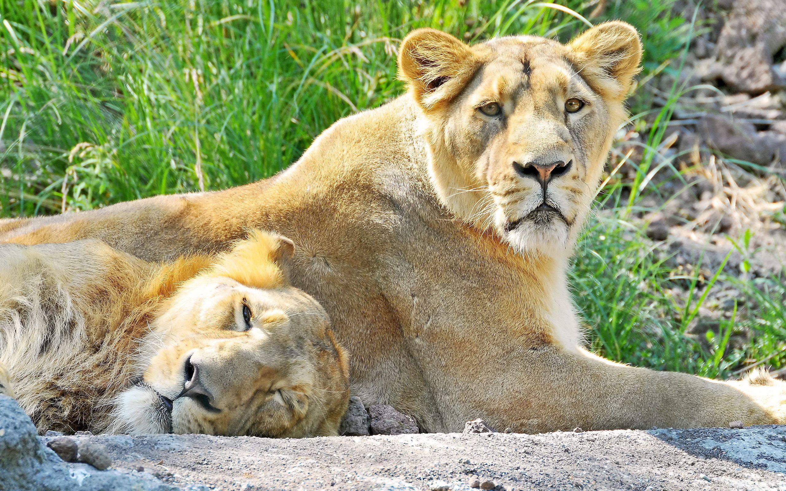 58582 download wallpaper Animals, Couple, Pair, Sleep, Dream, Predators, To Lie Down, Lie, Rock, Stone, Lions screensavers and pictures for free