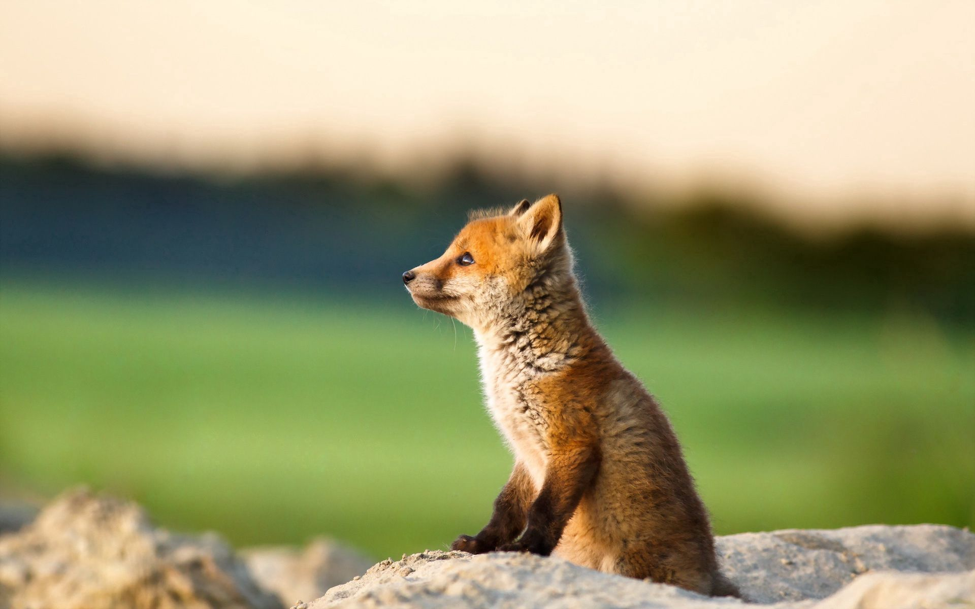 76126 Hintergrundbild herunterladen Tiere, Junge, Tier, Ein Fuchs, Fuchs, Joey - Bildschirmschoner und Bilder kostenlos