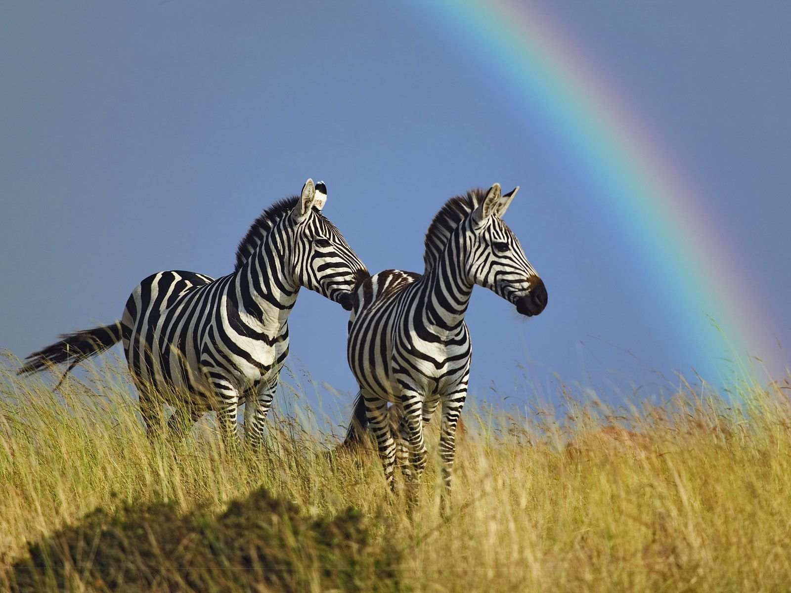 76081 download wallpaper Animals, Zebra, Couple, Pair, Rainbow, Grass screensavers and pictures for free