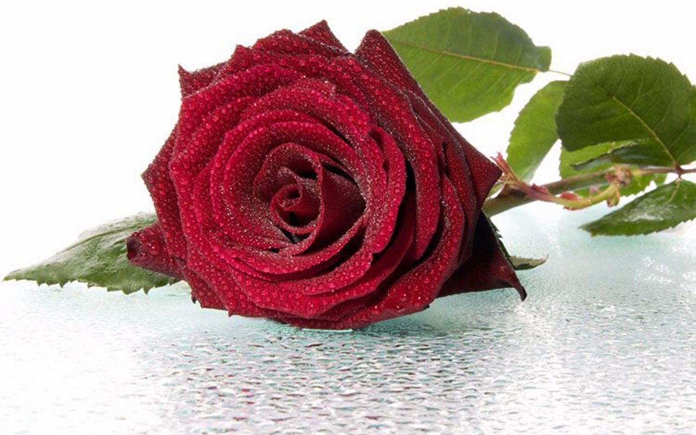 37094 скачать обои Растения, Цветы, Розы - заставки и картинки бесплатно