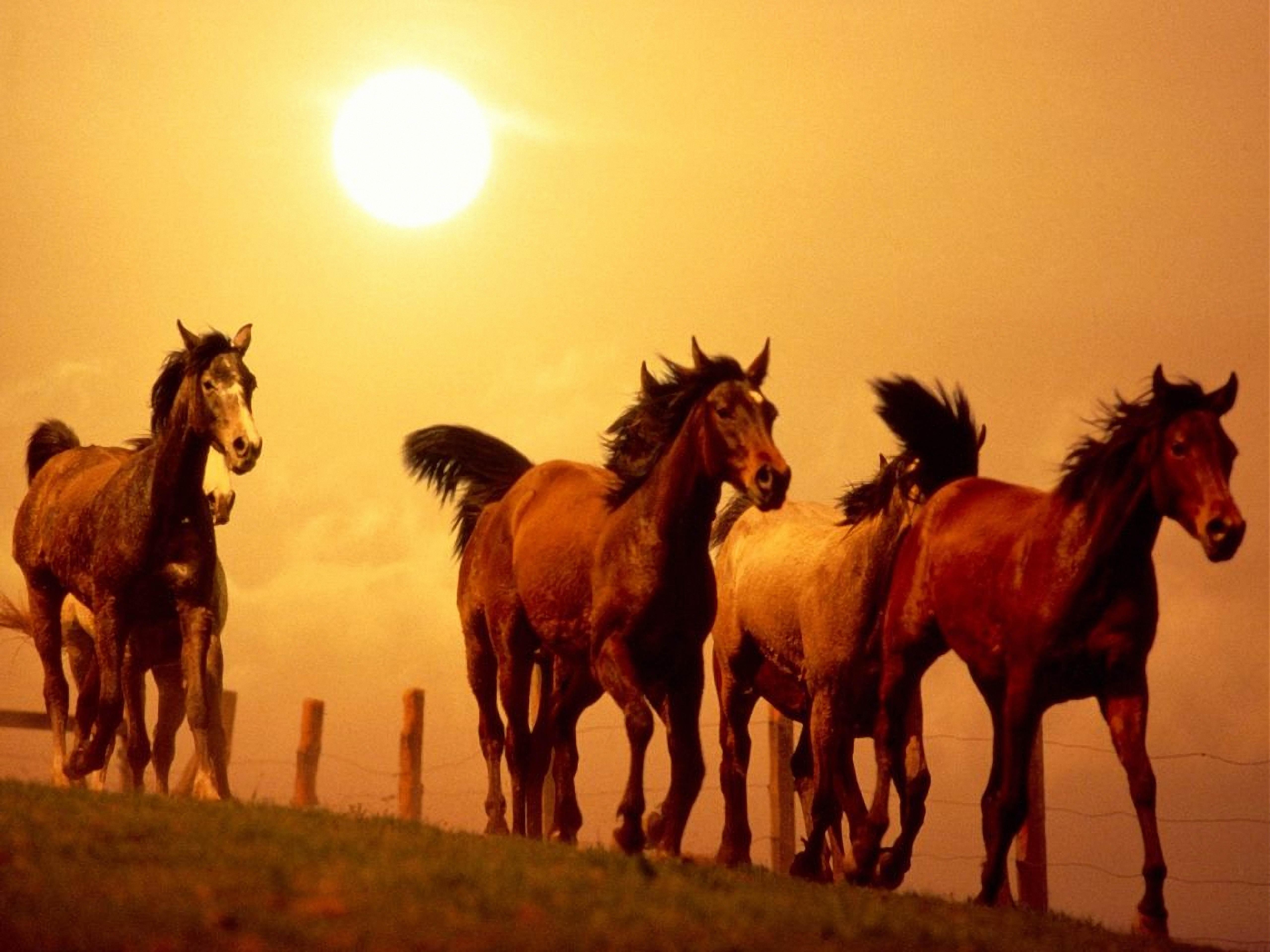 62123 Protetores de tela e papéis de parede Cavalos em seu telefone. Baixe Animais, Pôr Do Sol, Cavalos, Corre, Executando fotos gratuitamente