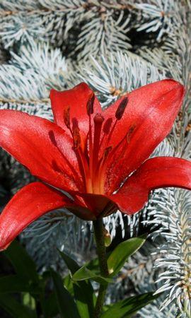 9157 скачать обои Растения, Цветы, Лилии - заставки и картинки бесплатно