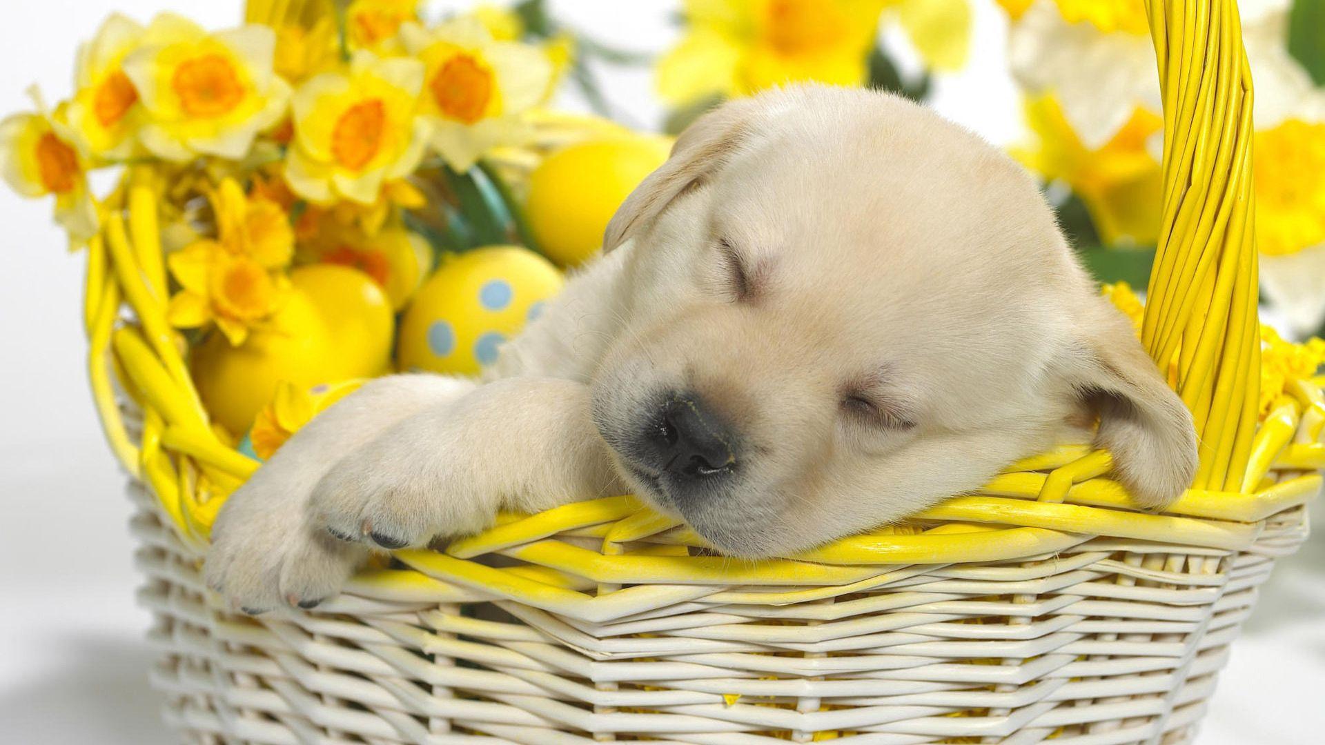 77783 descargar fondo de pantalla Animales, Cachorro, Labrador, Dormir, Soñar, Cesta, Canasta, Flores, Pascua, Huevos: protectores de pantalla e imágenes gratis
