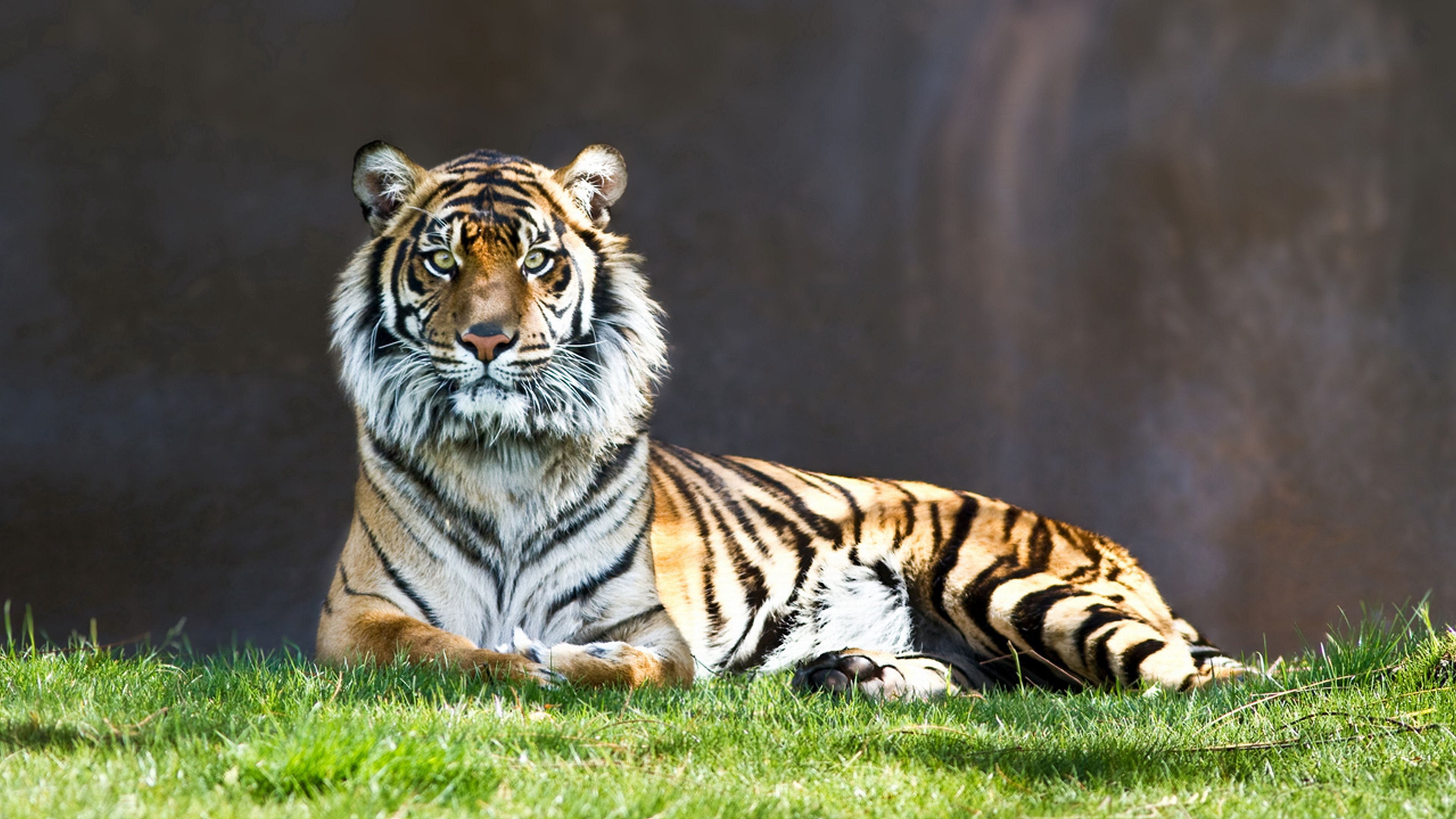147508 download wallpaper Animals, Tiger, Grass, To Lie Down, Lie, Predator screensavers and pictures for free