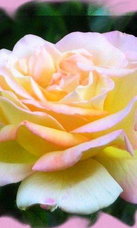 7335 скачать обои Растения, Цветы, Розы - заставки и картинки бесплатно