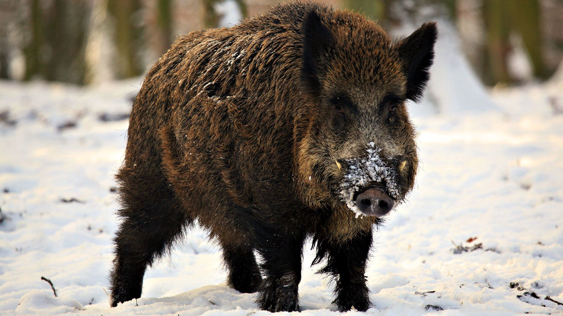 71540 download wallpaper Animals, Fangs, Piglet, Snow, Winter, Boar screensavers and pictures for free
