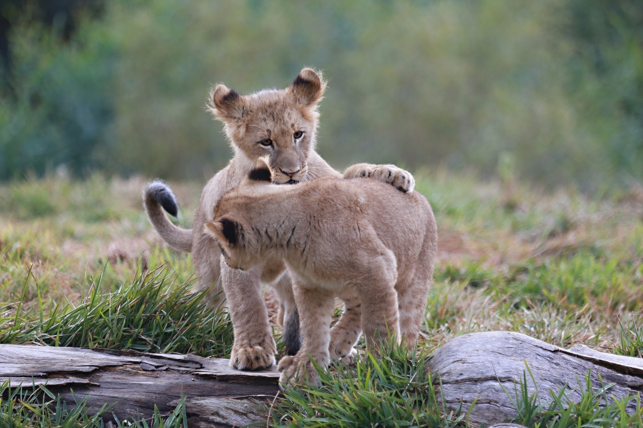 72312 Screensavers and Wallpapers Predators for phone. Download Animals, Predators, Young, Cubs, Kittens, Lion Cubs pictures for free
