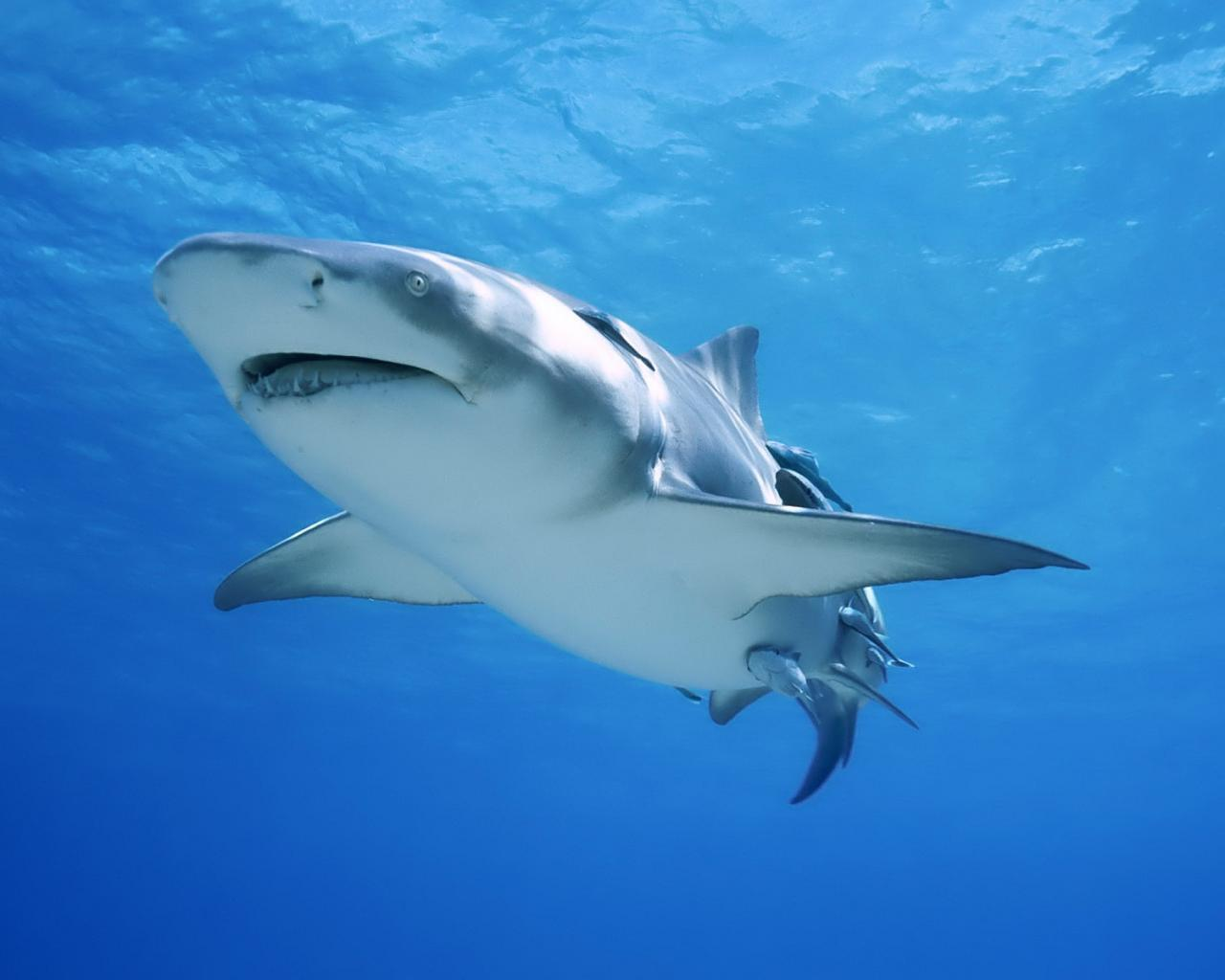 22945 download wallpaper Animals, Sea, Sharks, Fishes screensavers and pictures for free