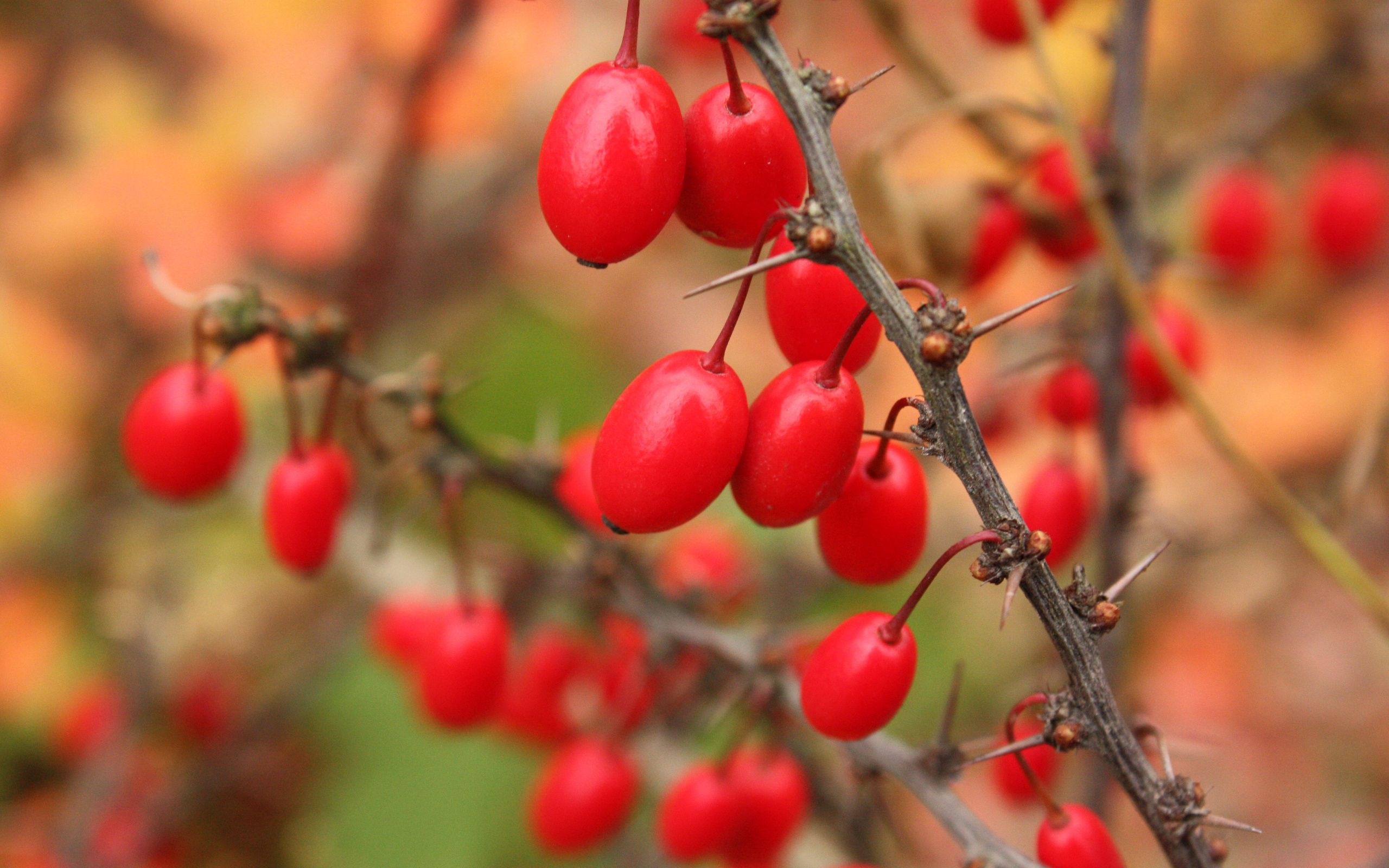 52899 download wallpaper Macro, Barberry, Branch, Wood, Tree, Berries screensavers and pictures for free