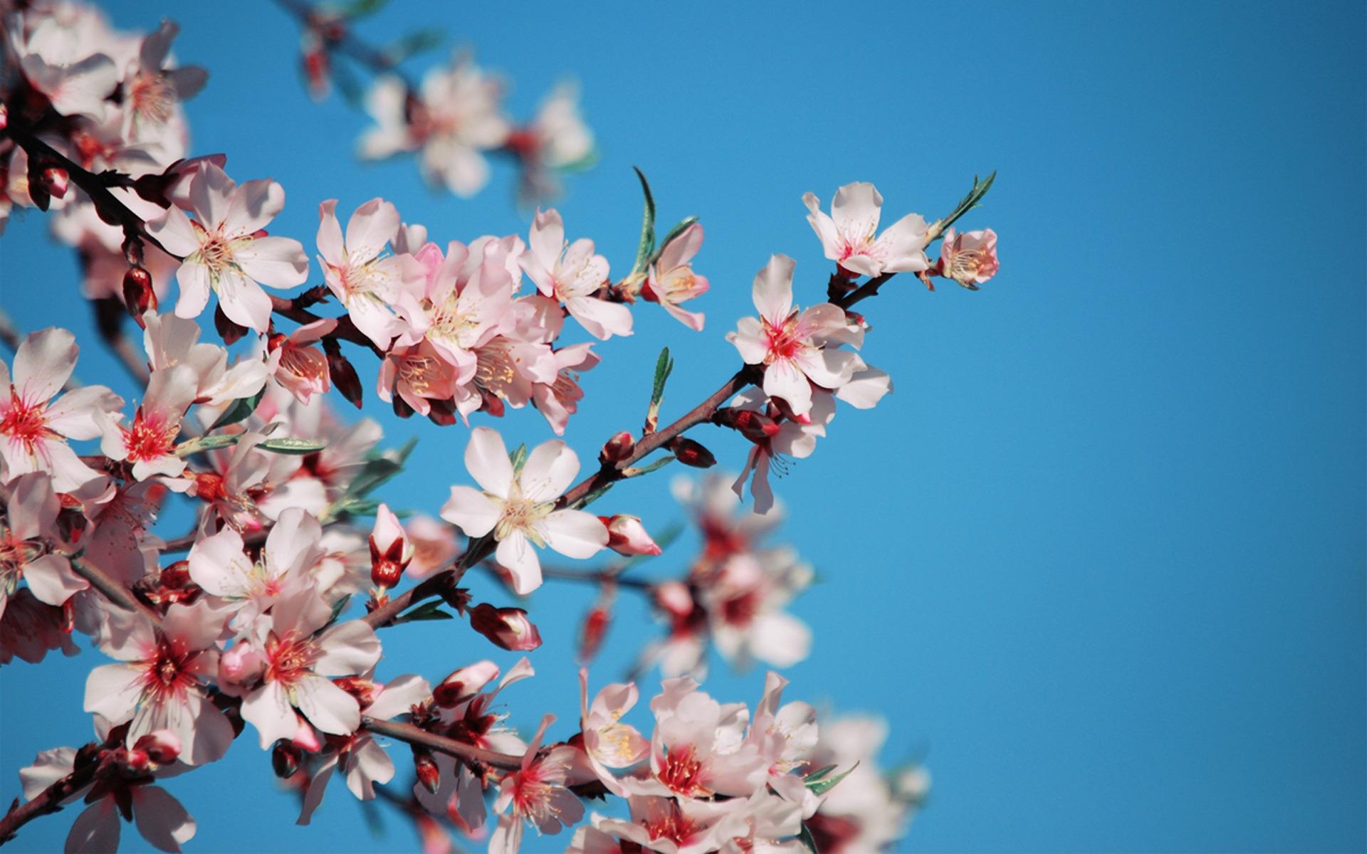 21506 скачать обои Растения, Цветы, Деревья, Сакура - заставки и картинки бесплатно