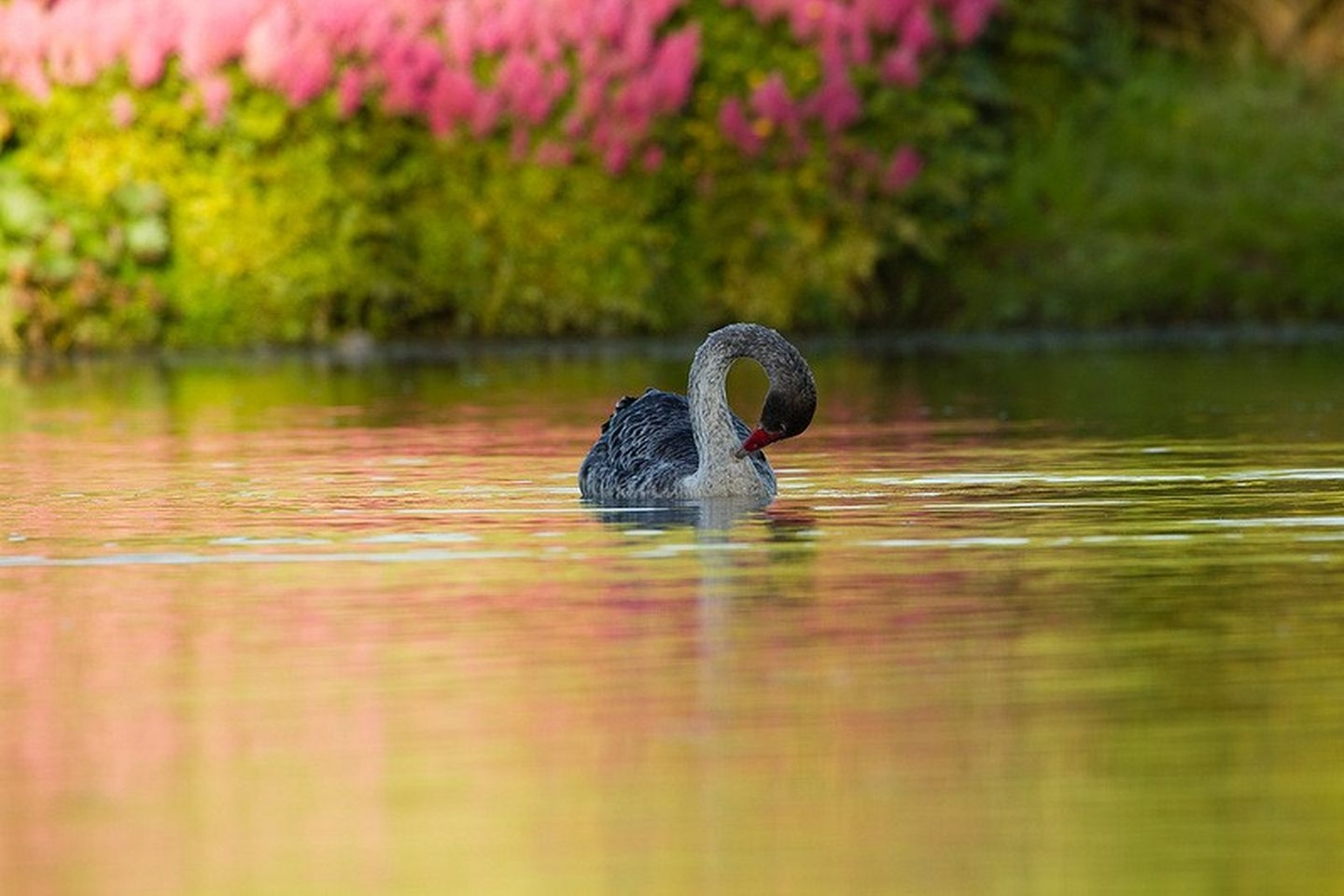 35854 download wallpaper Animals, Birds, Swans screensavers and pictures for free