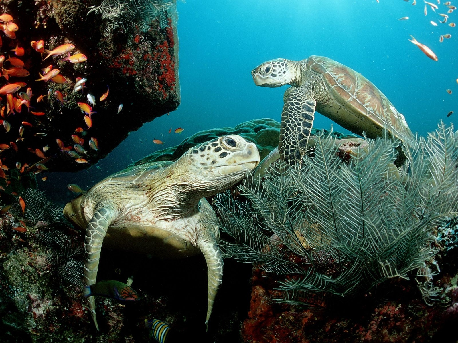 2574 download wallpaper Animals, Turtles, Sea screensavers and pictures for free