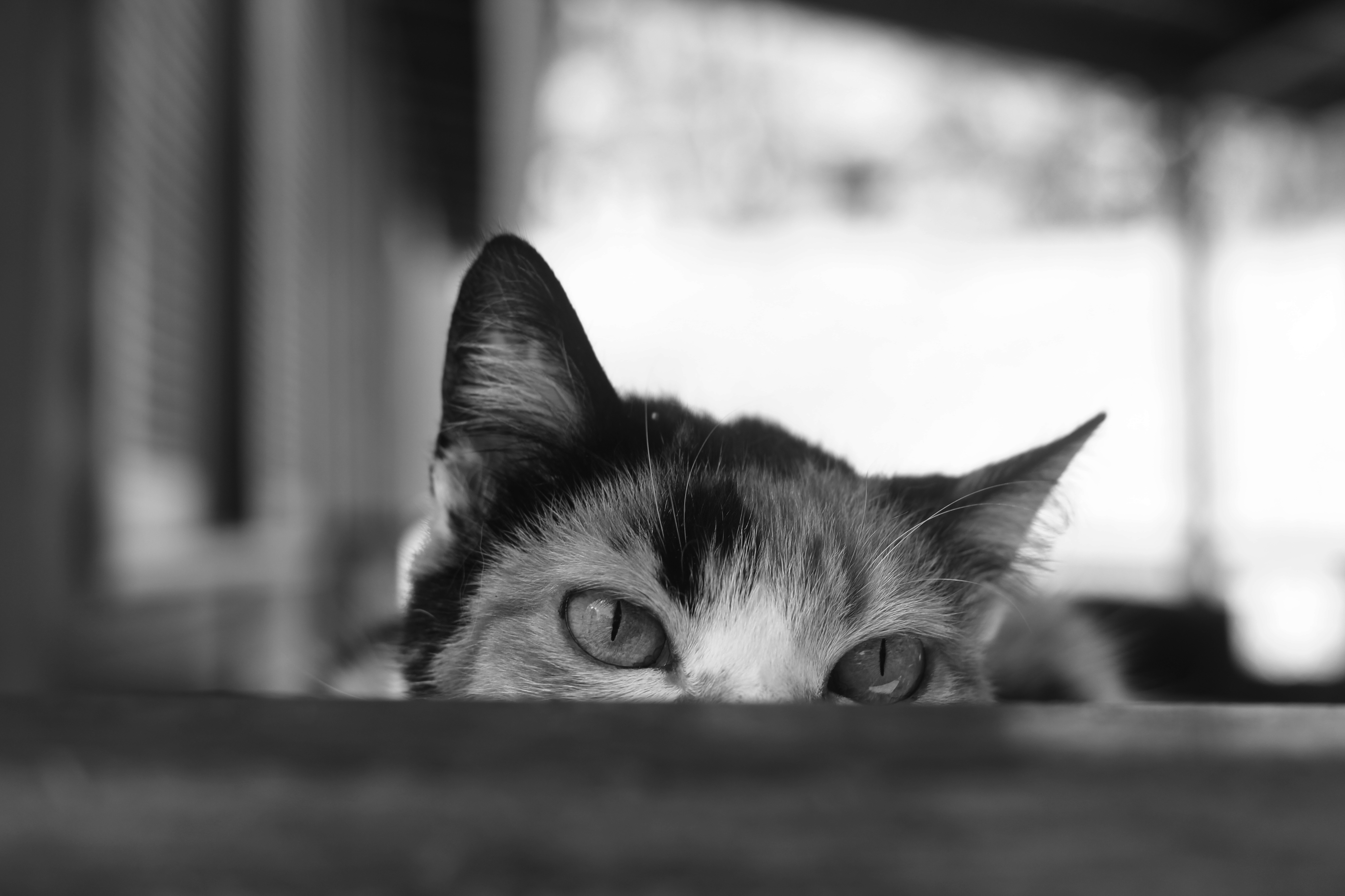 68076 download wallpaper Animals, Cat, Bw, Chb, Eyes, Peek Out, Look Out, Ears screensavers and pictures for free