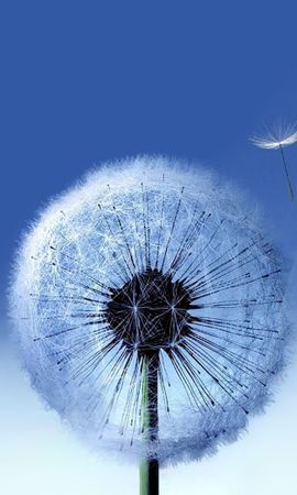 17476 download wallpaper Plants, Flowers, Dandelions screensavers and pictures for free