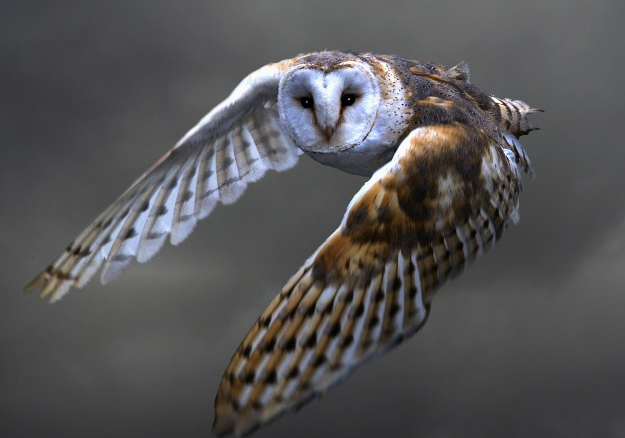 121729 Hintergrundbild herunterladen Eule, Tiere, Vogel, Raubtier, Predator, Flug, Schleiereule, Sipucha - Bildschirmschoner und Bilder kostenlos